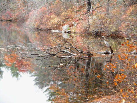 A great blue heron ponders the shores of Glen Echo Pond.