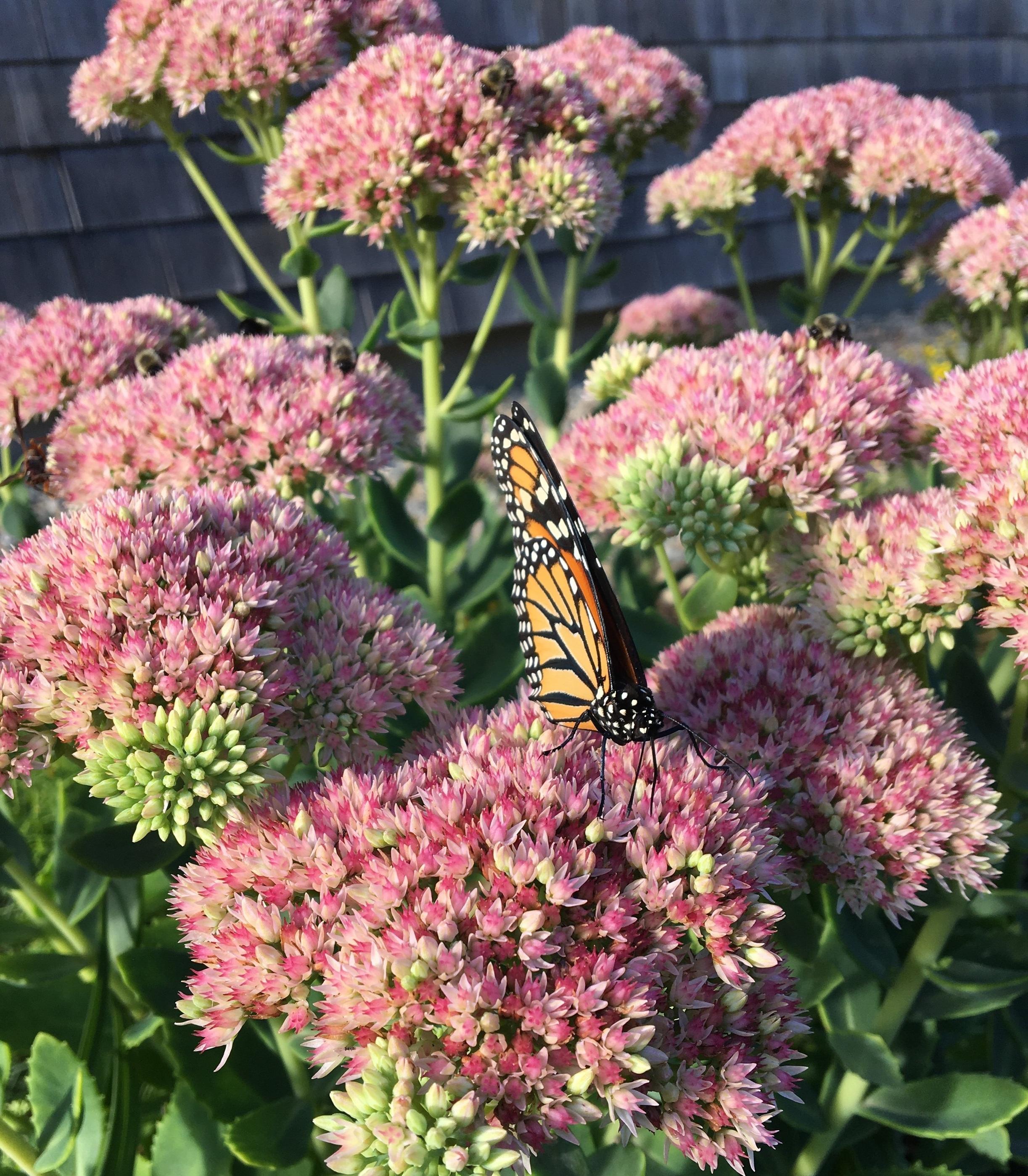 A female monarch drinks nectar from a sedum plant at Davis-Douglas Farm.