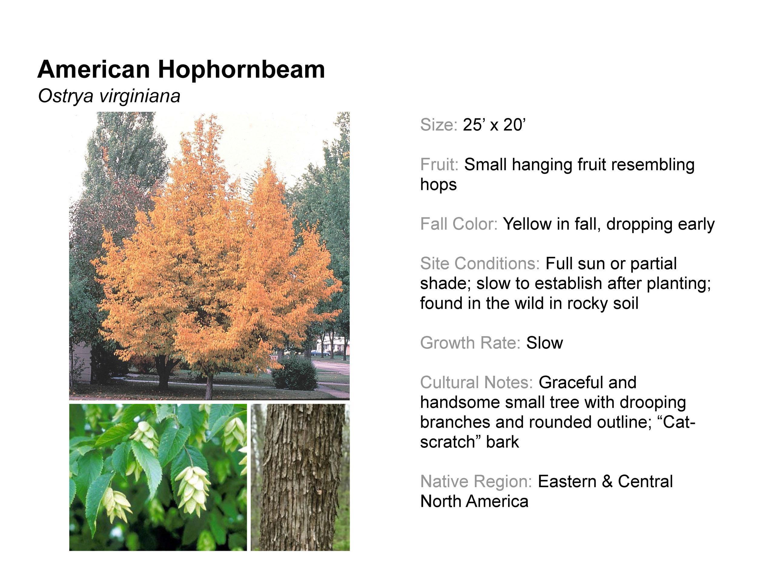 American Hophornbeam