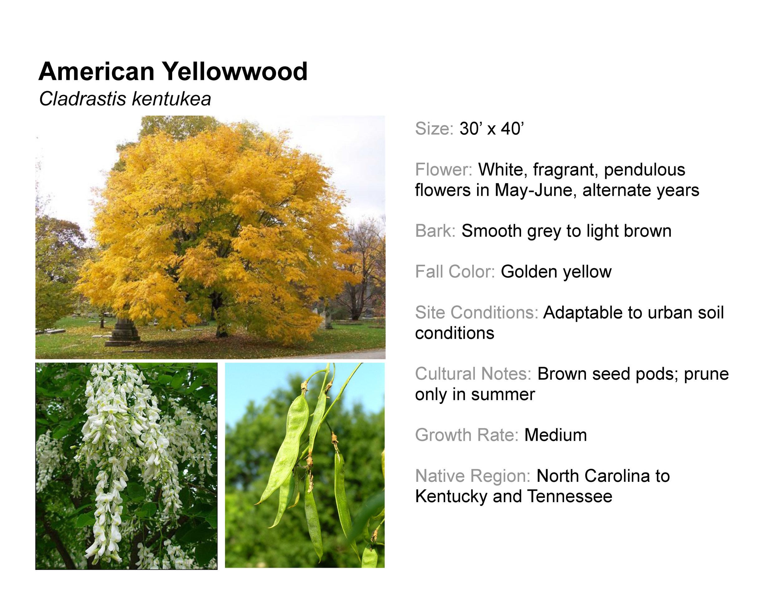 American Yellowwood