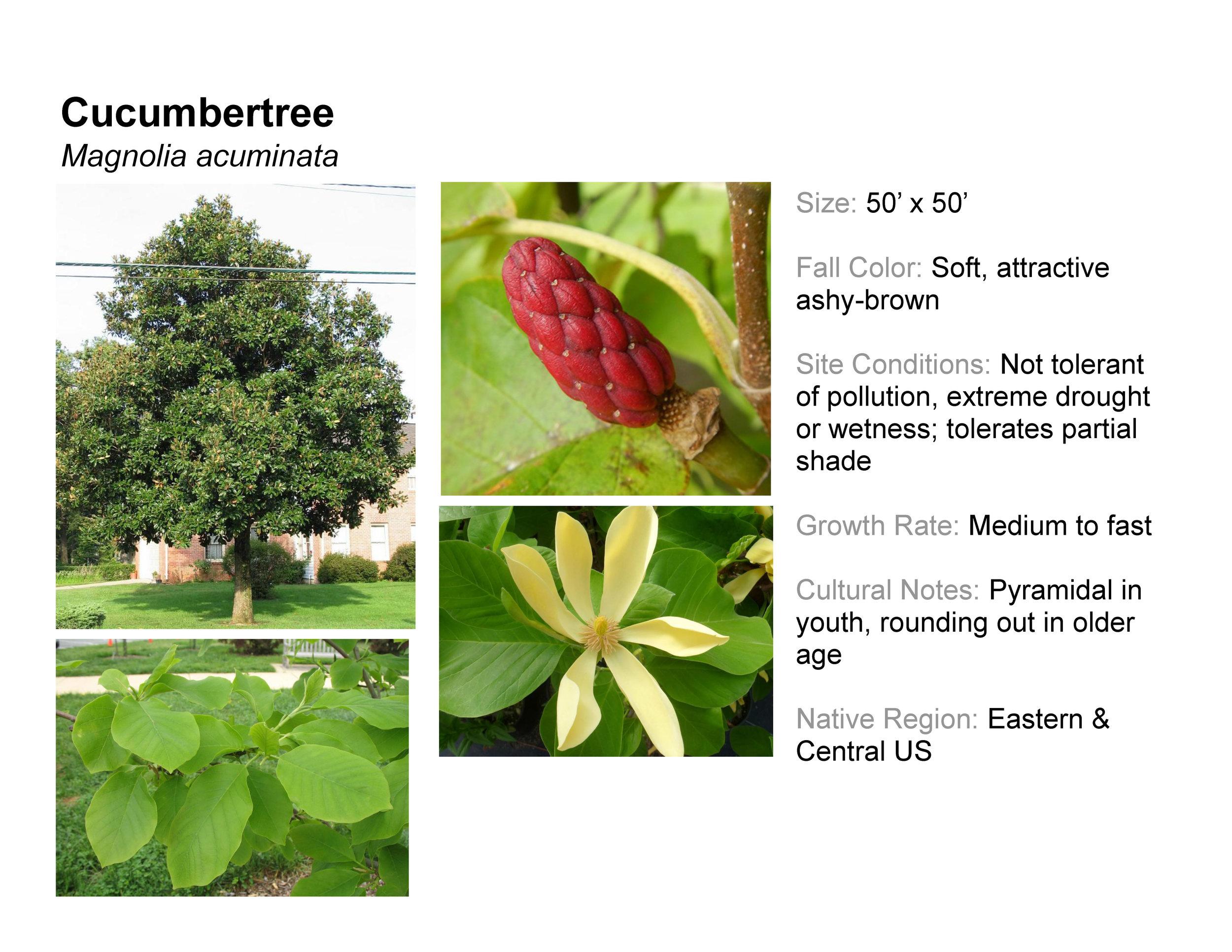 Cucumbertree