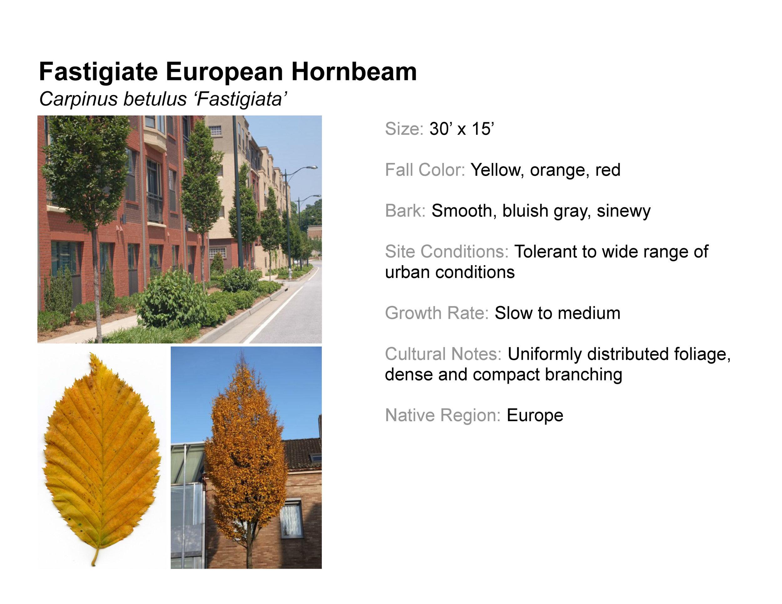 Fastigiate European Hornbeam