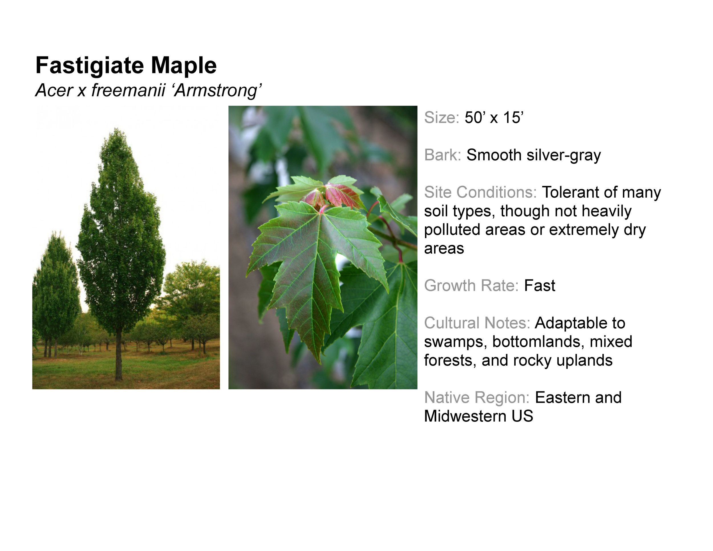 Fastigiate Maple