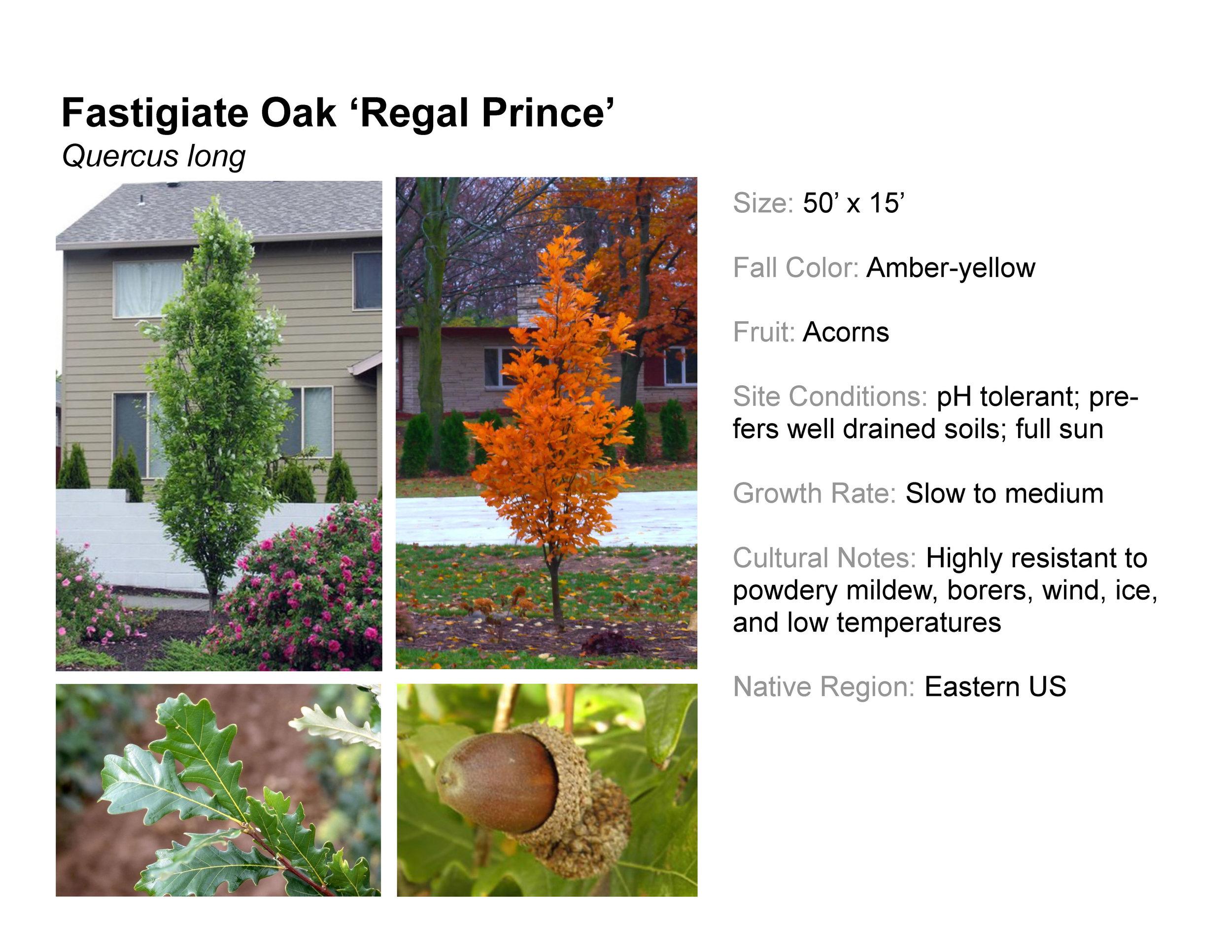 Fastigiate Oak 'Regal Prince'