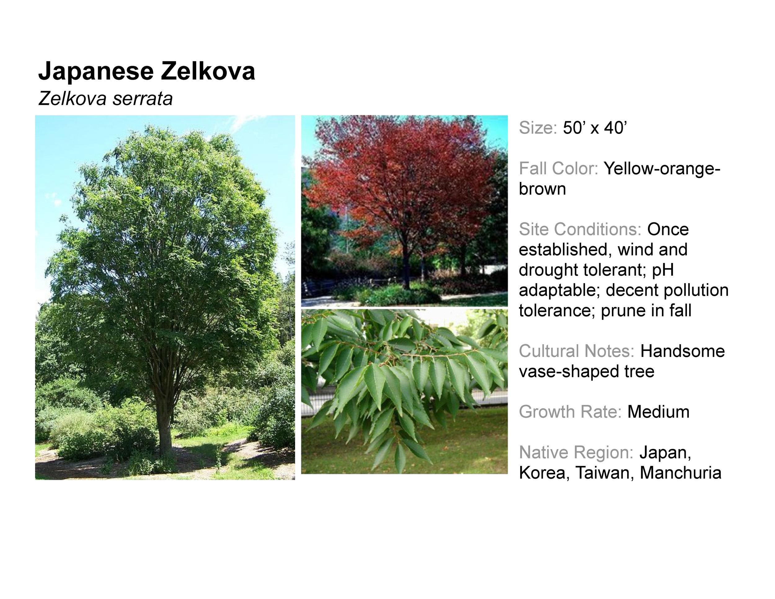Japanese Zelkova