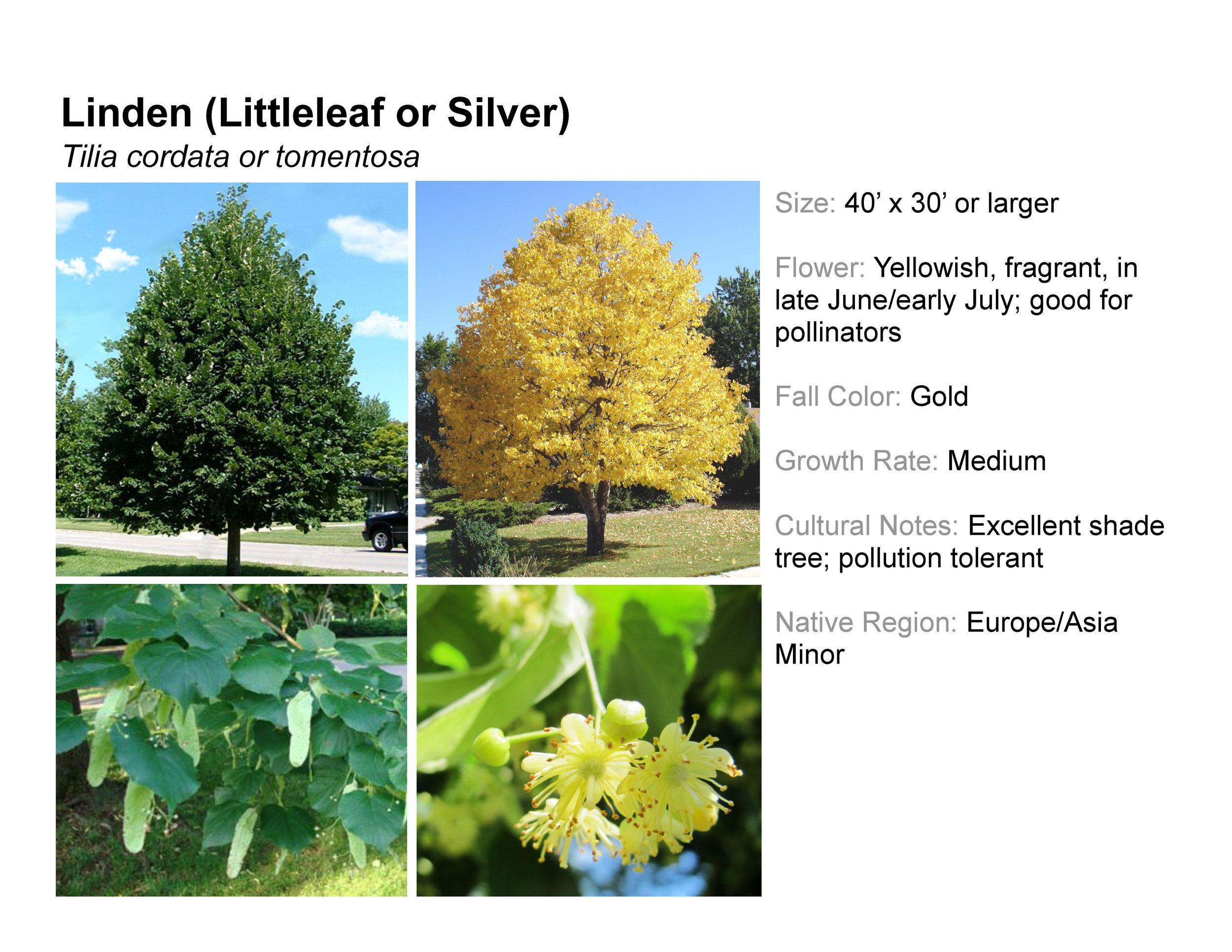 Linden (Littleleaf or Silver)