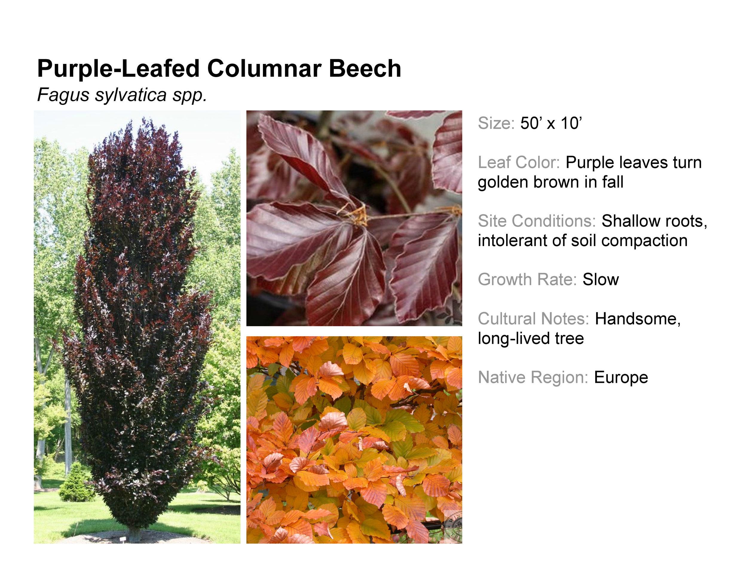 Purple-Leafed Columnar Beech