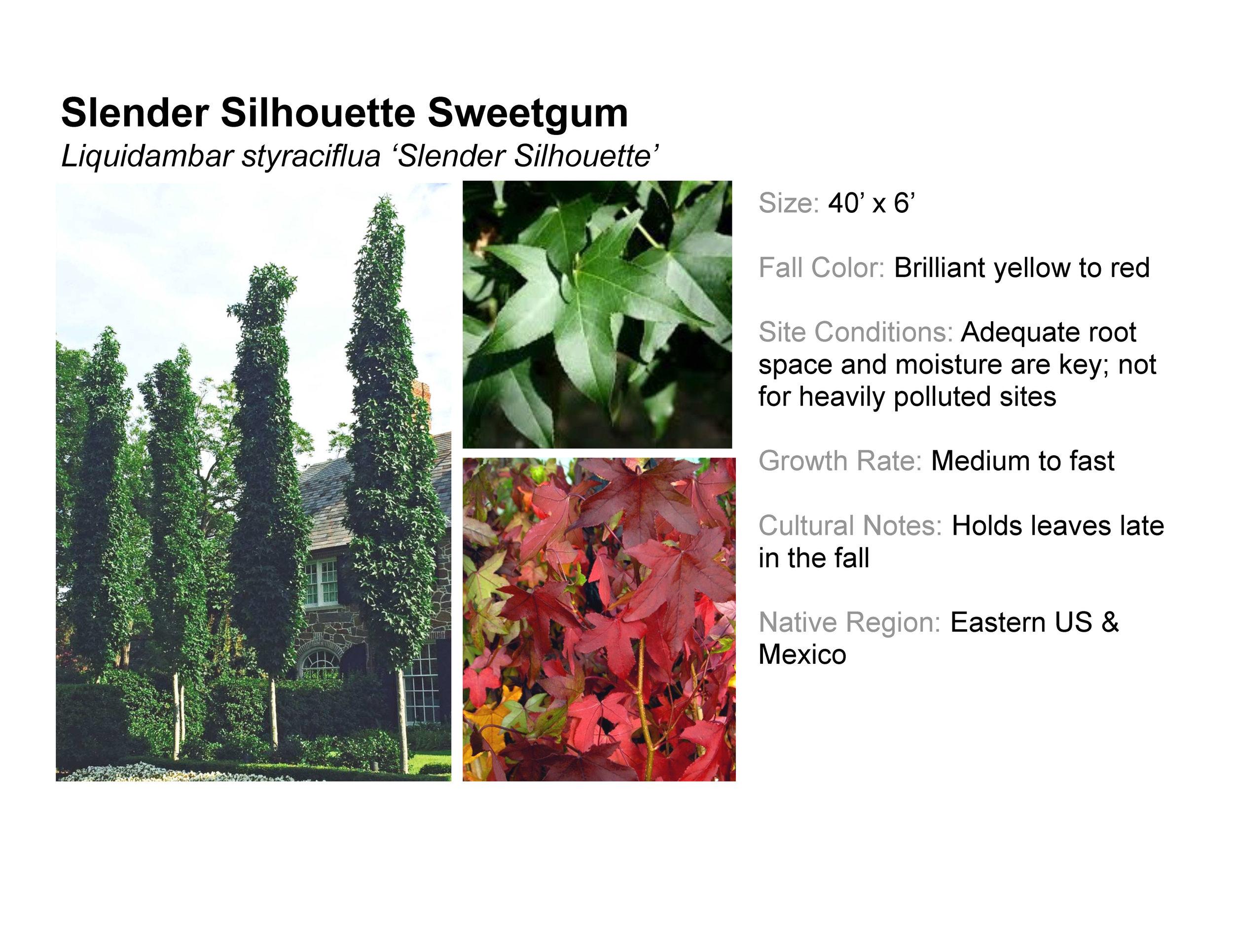 Slender Silhouette Sweetgum