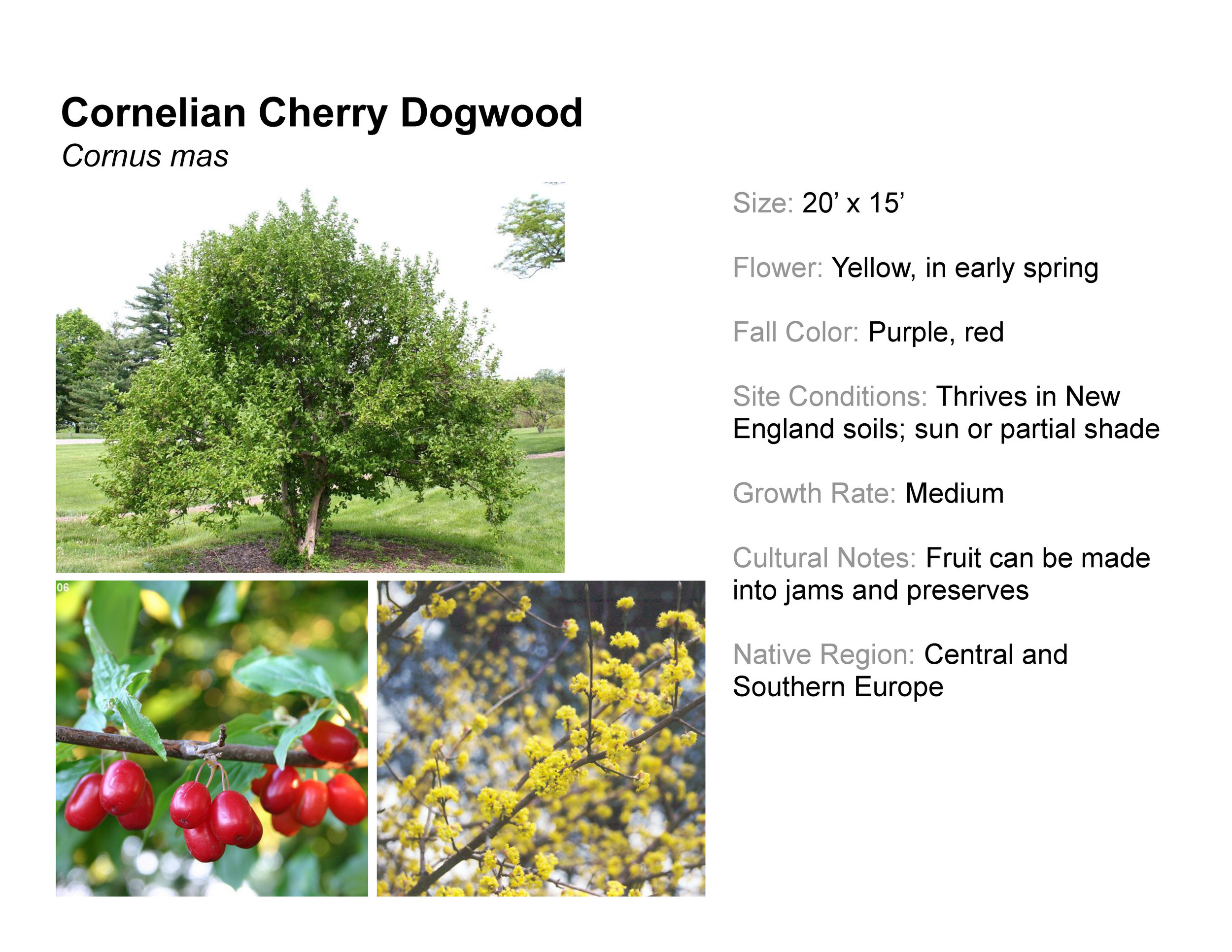 Cornelian Cherry Dogwood