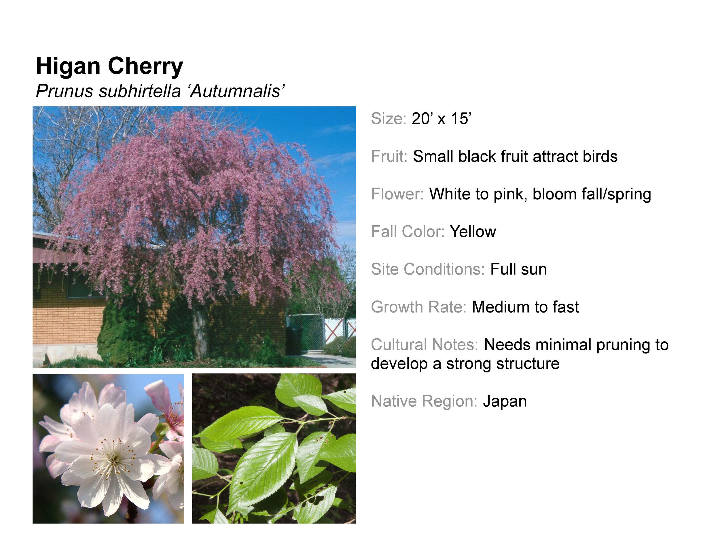 Higan Cherry