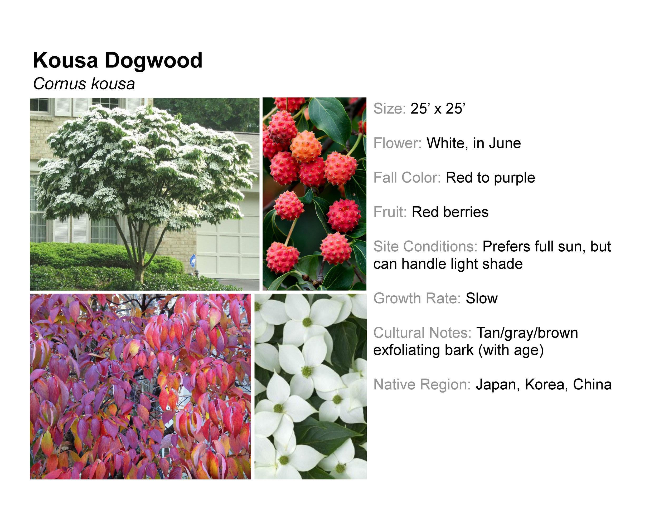 Kousa Dogwood