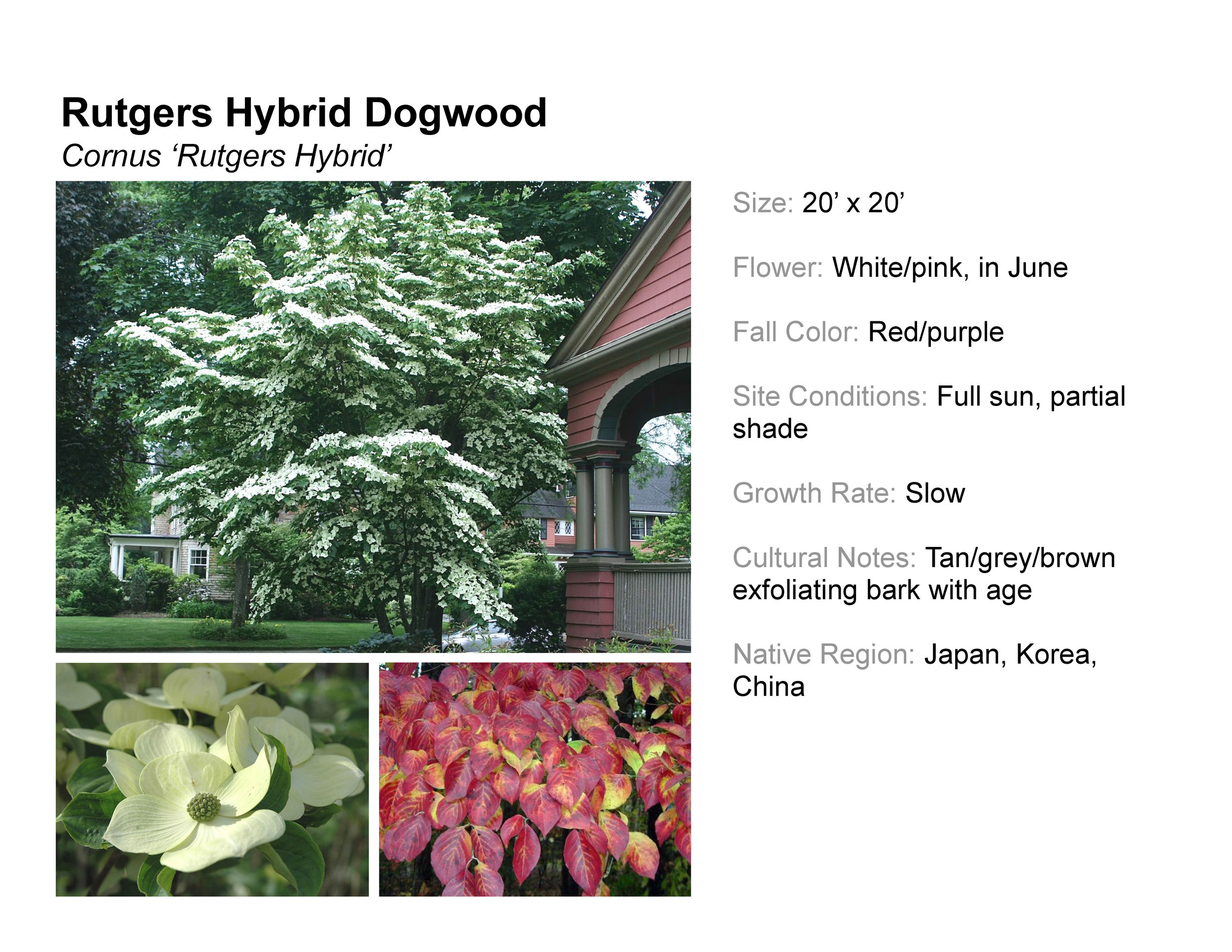 Rutgers Hybrid Dogwood