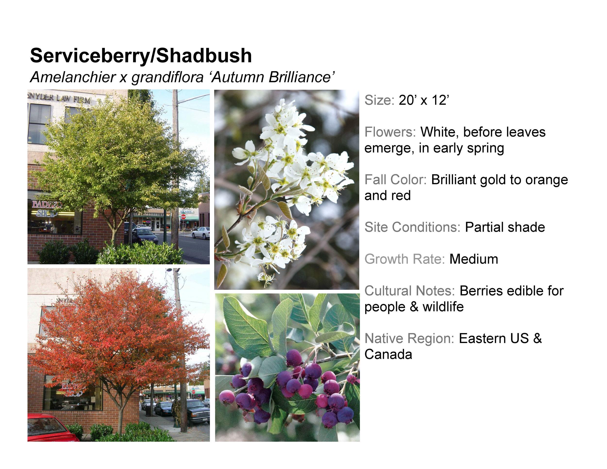 Serviceberry/Shadbush