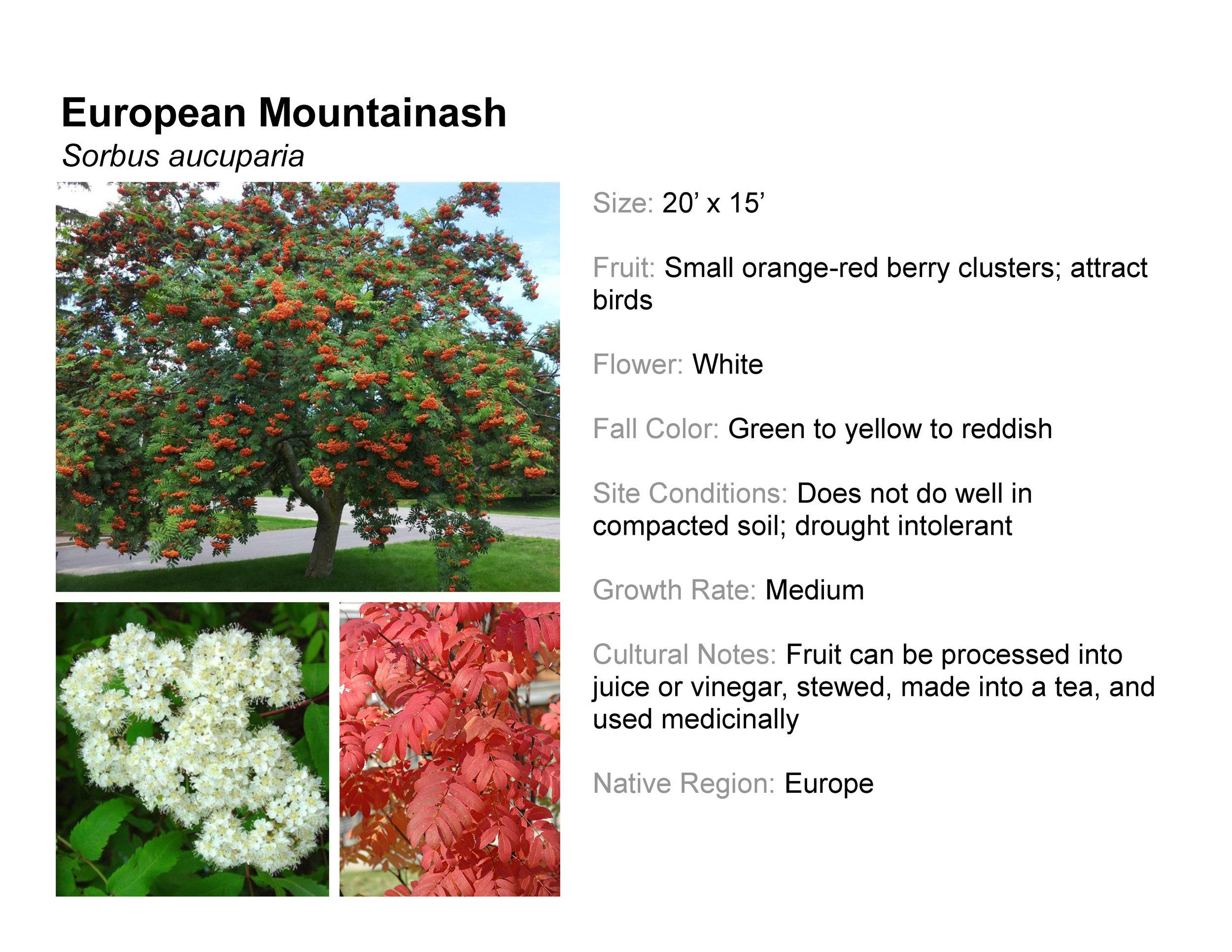 European Mountainash
