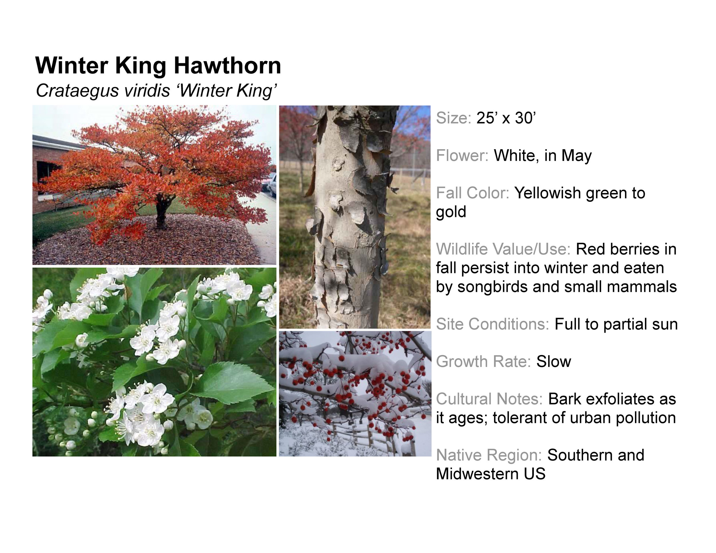 Winter King Hawthorn