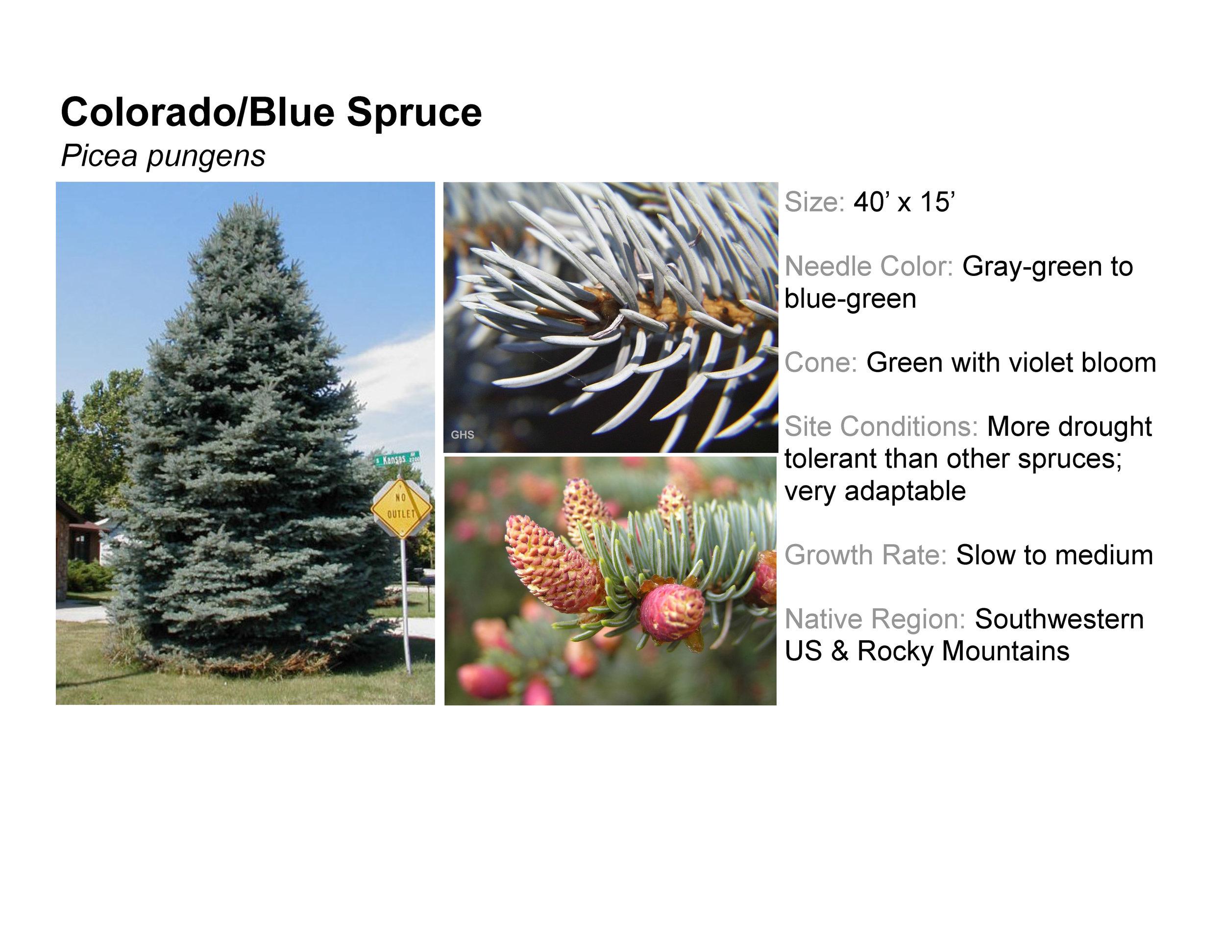 Colorado/Blue Spruce