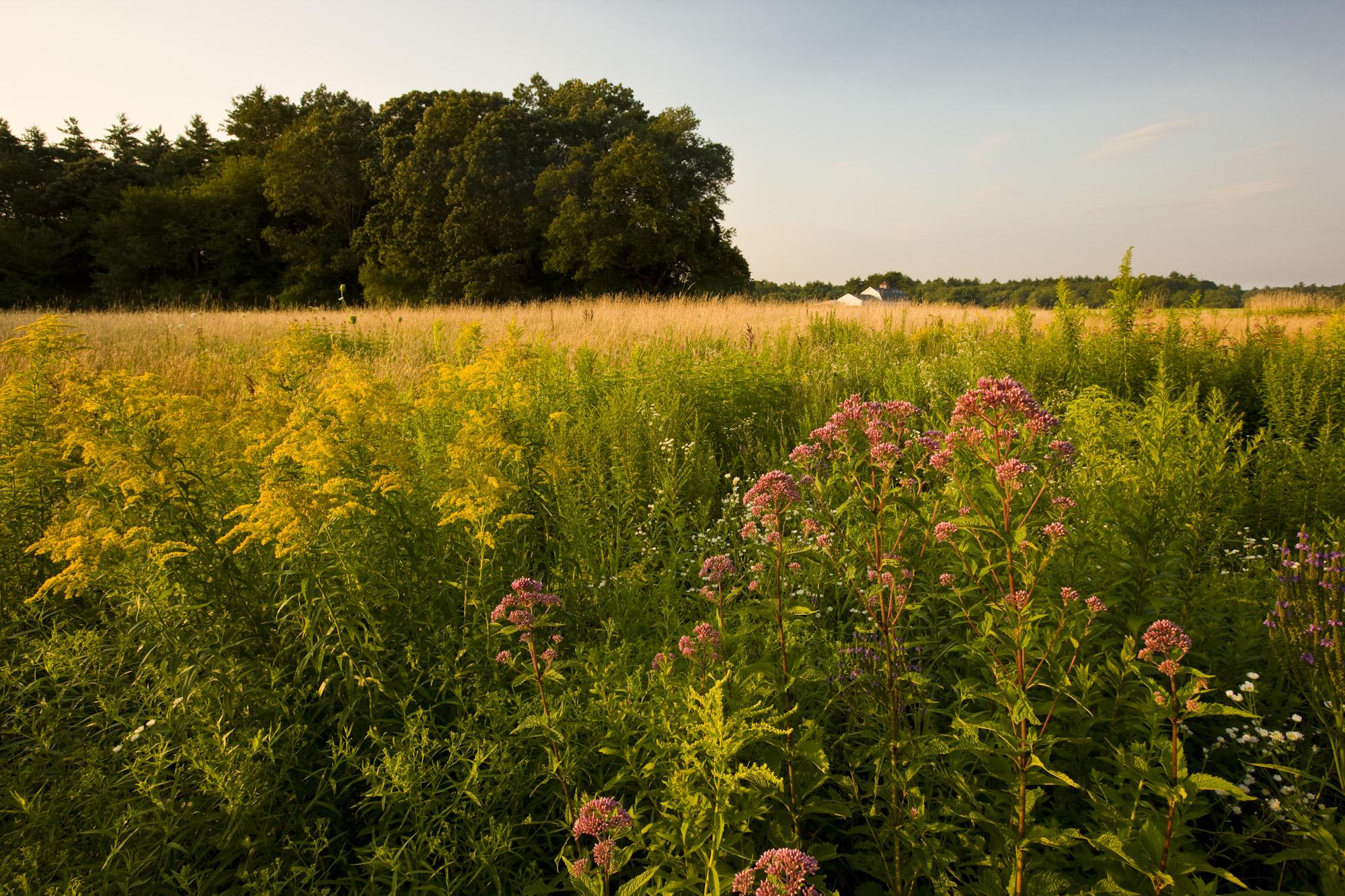Joe-pye weed, Eutrochium purpureum, grows at Great River Preserve in Bridgewater.