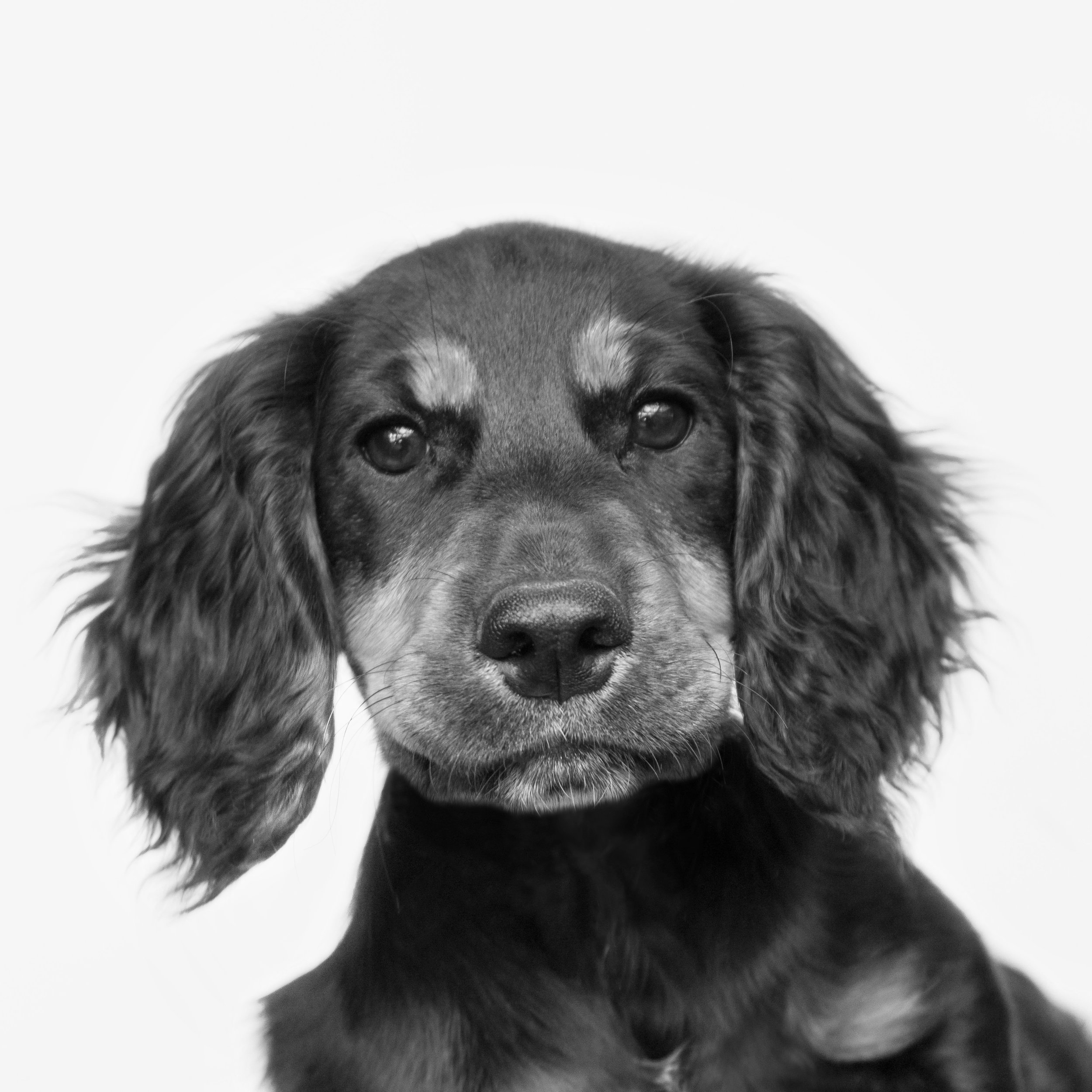 Purdey -  Chief of Motivation  Purdey joined the office in May 2018 and has been an exceptional Chief of Motivation ever since. She is very clever, loves belly rubs and meeting new people. Purdey is a talented motivator, which helps the office to maintain high levels of productivity throughout the working day.