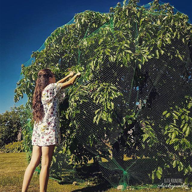 """""""Igale ruutmeetrile aias saab luua väärtust!"""" • Jah, mu ema istutas need puud alles siis, kui olin aiast täiesti mittehuvituv puberteedi ealine tütarlaps. Möödus umbes 10 lootusrikast aastat, mil igal aastal mureleid ootasime. Selle ootamise eest olen nüüd viimased 5 aastat ülimalt tänulik, kui jälle kahe puu jagu suuri tumepunaseid ja magusaid mureleid saame pintslisse panna (muideks väga head ka talvel sügavkülmast kookidele või smuutidele lisamiseks). • Soovin rõhutada seda, et püüa näha enda aeda rohkem kui lihtsalt suure muruplatsina, mida iga nädalaselt hooldama peab. • Tüütu oli võtta ette seda paari tundi, et kolmekesi lindude kaitseks võrgud murelipuudele ümber saaks, kuid nüüd, kus juba esimesi mureleid suhu pistmiseks nopin, olen jälle üüratult tänulik selle eest, et need aias olemas on. • Aia igale ruutmeetrile annab luua väärtust. Kui Sa oled seda teinud, siis muutub ka see alles jäänud muruplatsike ajapikku Sinu jaoks väärtuslikuks, sest isegi sellest kujuneb eesmärgiga ala, mida kasutada näiteks piknikuteks või mängimiseks. • Kui Sinu jaoks tundub 10 aastat liiga pikk aeg, siis mõtle niimoodi, et mitukümmend aastat saada oma aiast mureleid, mille üle terve pere saaks rõõmu tunda, ei ole selle ajalise faktori kõrval mitte midagi. • #nomnomm #elisekruusveeaiakujundus #elisekruusvee #suvi2018 #aed #aiandus #taimed #murelid #aiakujundus"""
