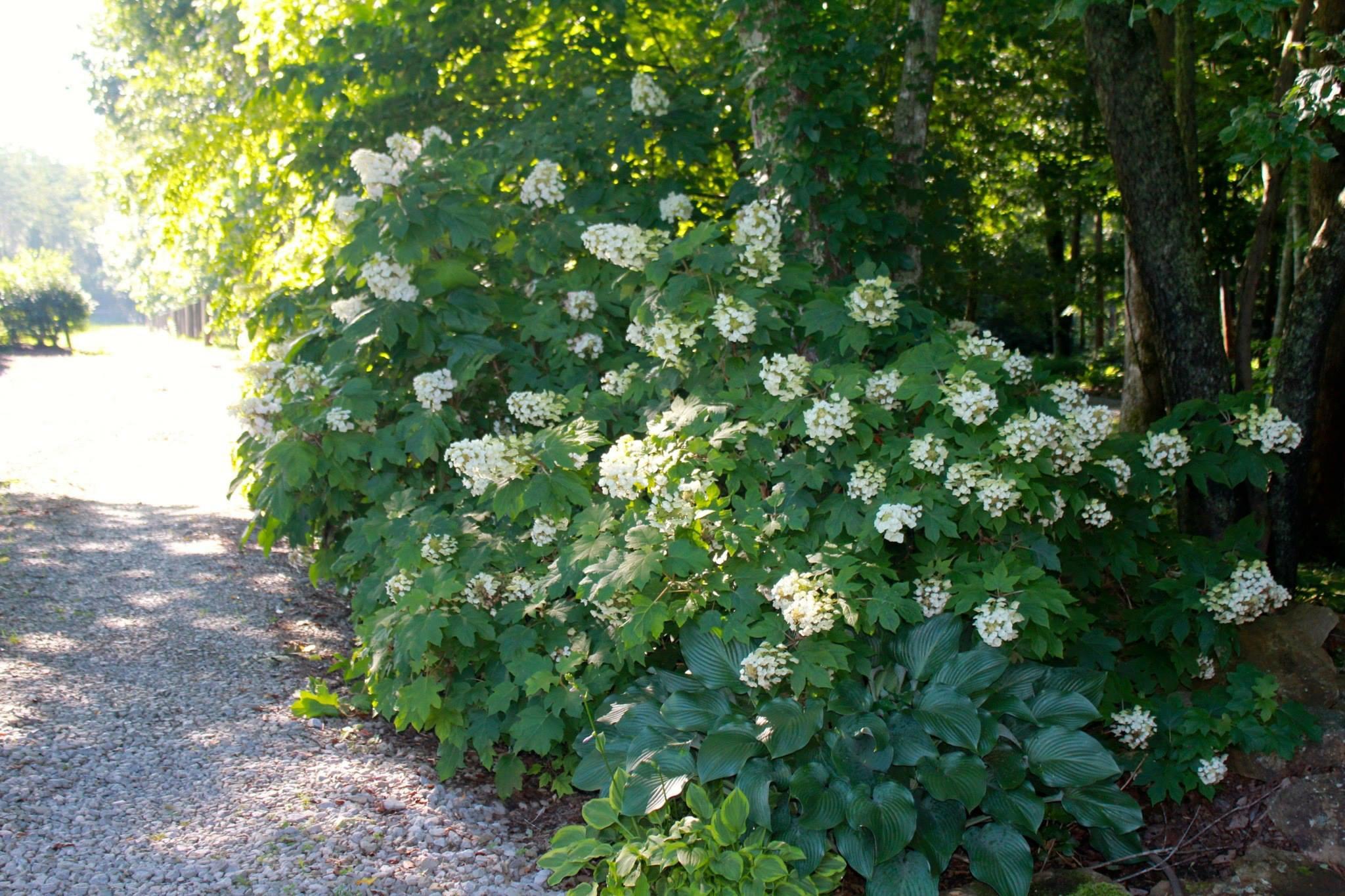 Oakleaf hydrangea with hosta underneath