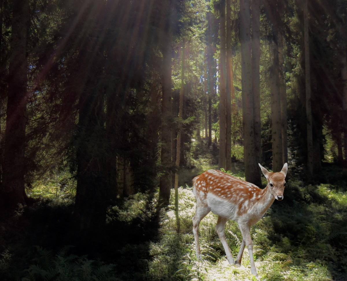 roe_deer_forest_mysticism_fairy_tales_mystical_animal_wild_scheu-623323.jpg