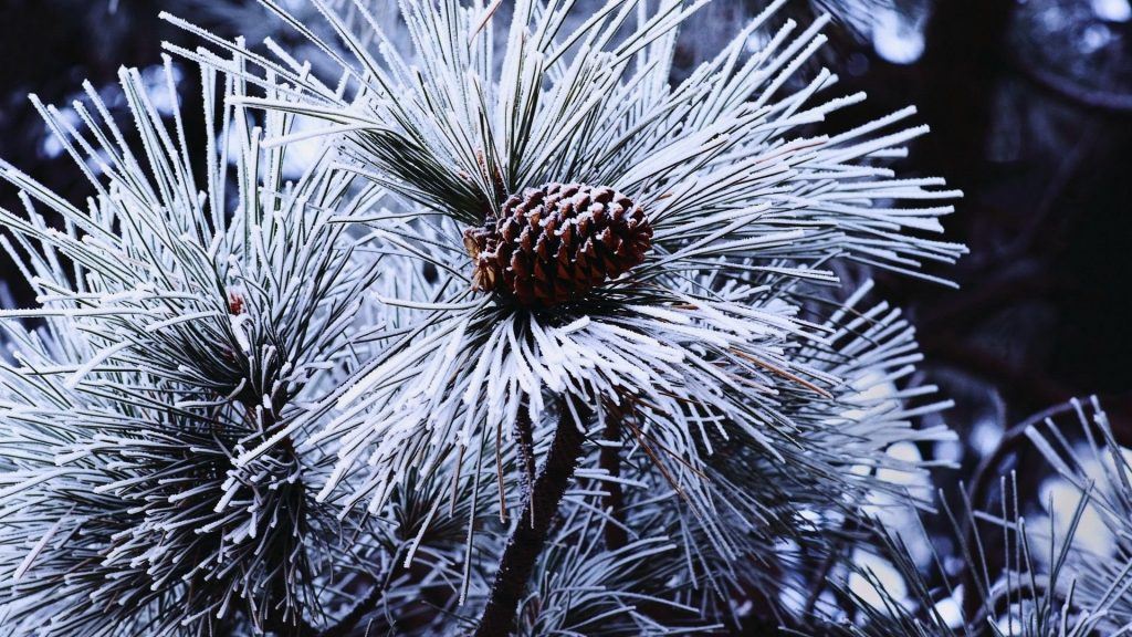 winter-snow-pine-cone-1024x576.jpg