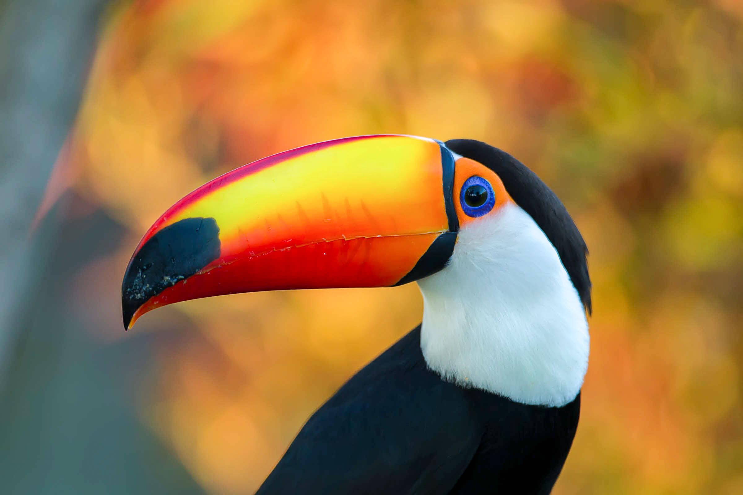 a1_4622_16_toco-toucan_peter_cavanagh_kk.jpg