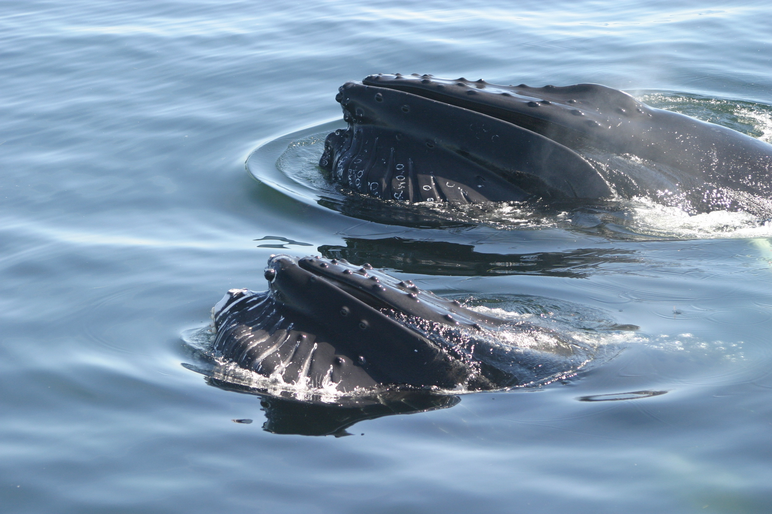 Humpbacks often forage in pairs in the Salish Sea (Photo By Andrea Hardaker)