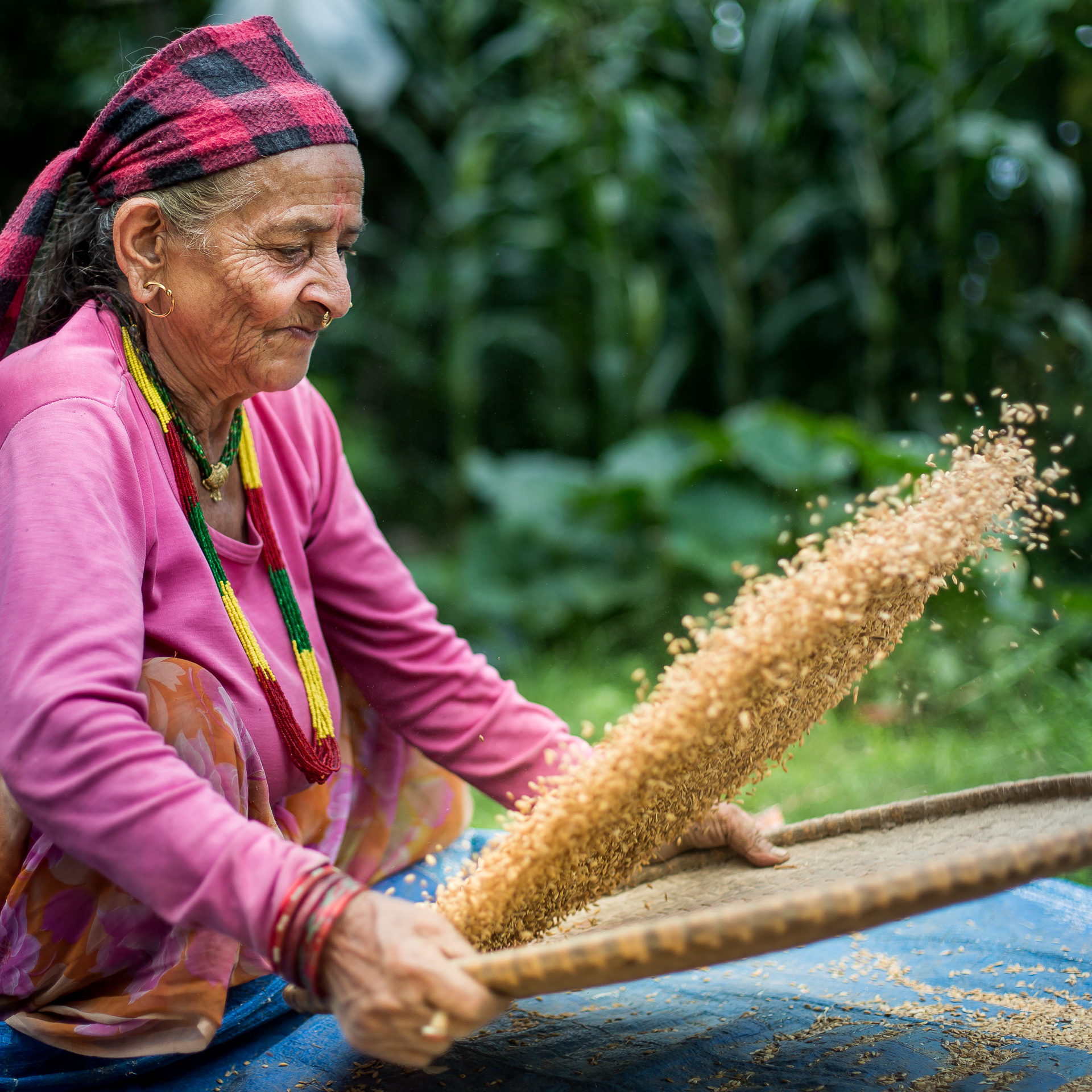 Woman cleaning grain by using a nanglo to toss it, separating grit and soil from the grain.