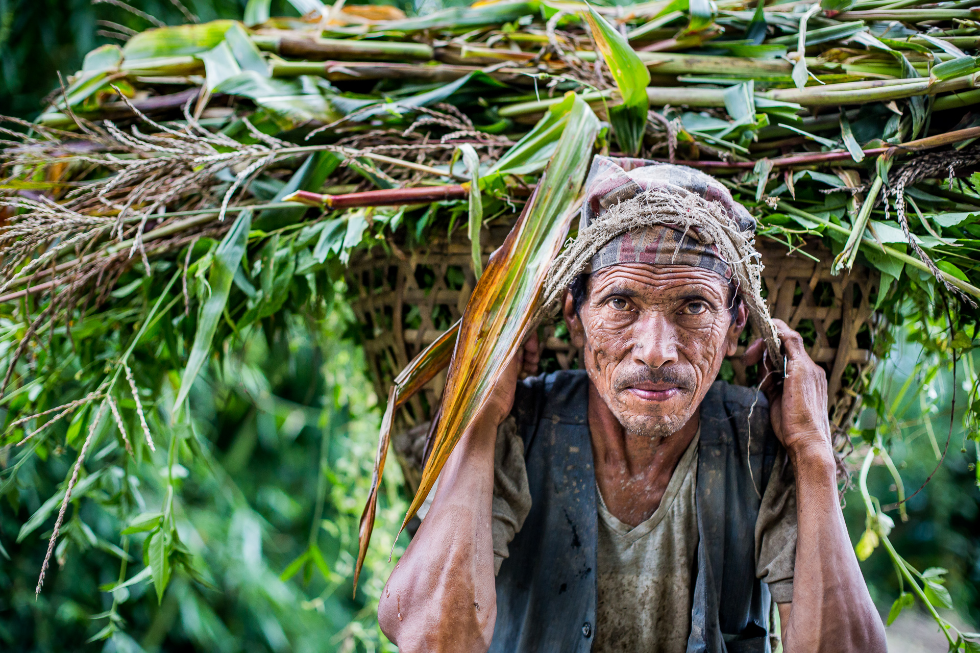 From a poor family, this father is carrying old corn plants which will be fed to the family's animals.
