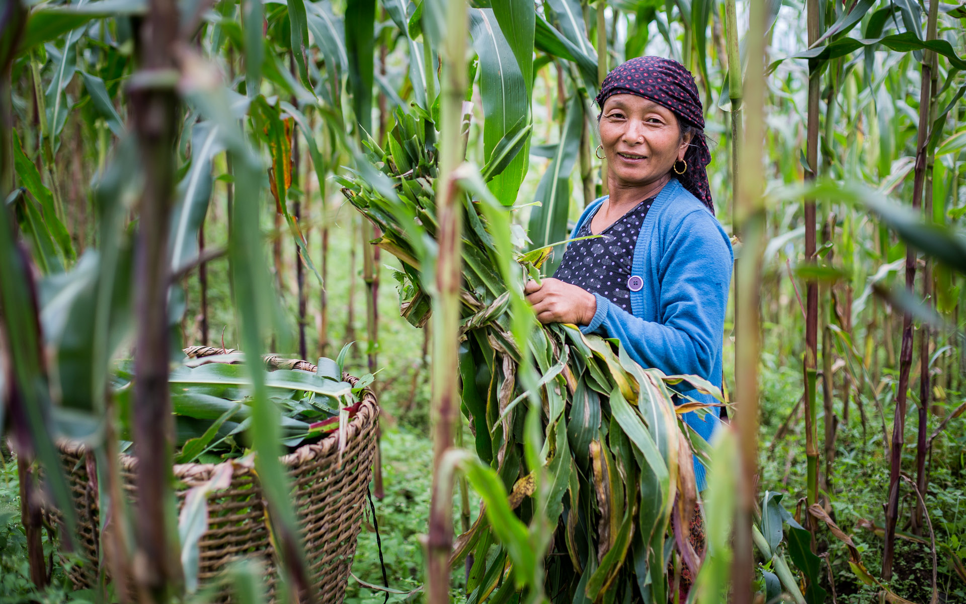 Lady taking corn leaves from the field to feed their cattle.