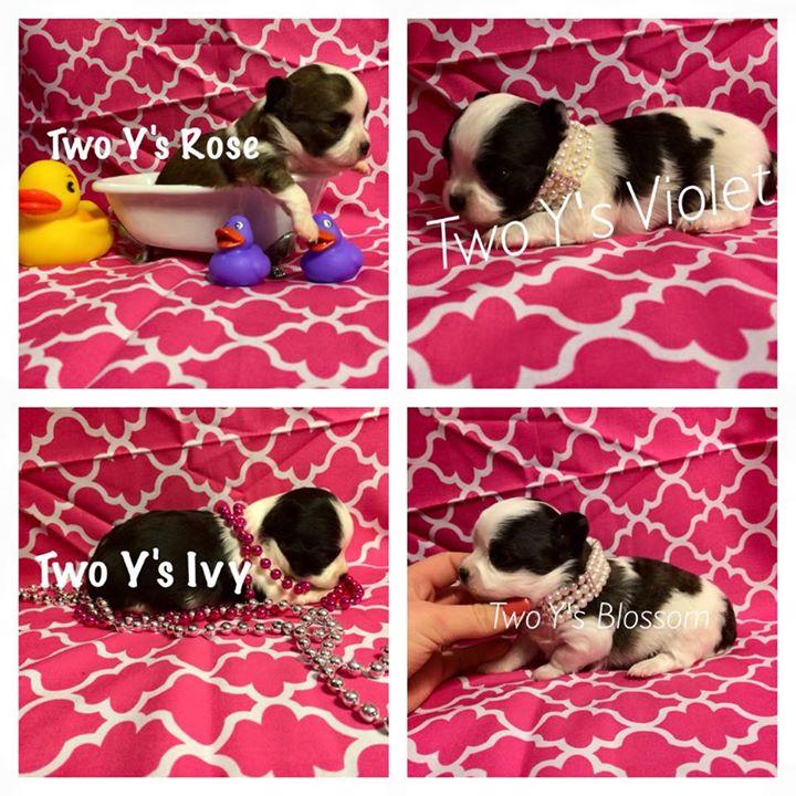 two y ranch toy aussie puppies for sale $500 australian shepherd aussies near me teacup chihuahua mini aussiedoodle breeders breeder south carolina blue merle y-not in texas brindle columbia sc blue north dakota kansas ks new york ny pennsylvania pa west virginia wv city tx