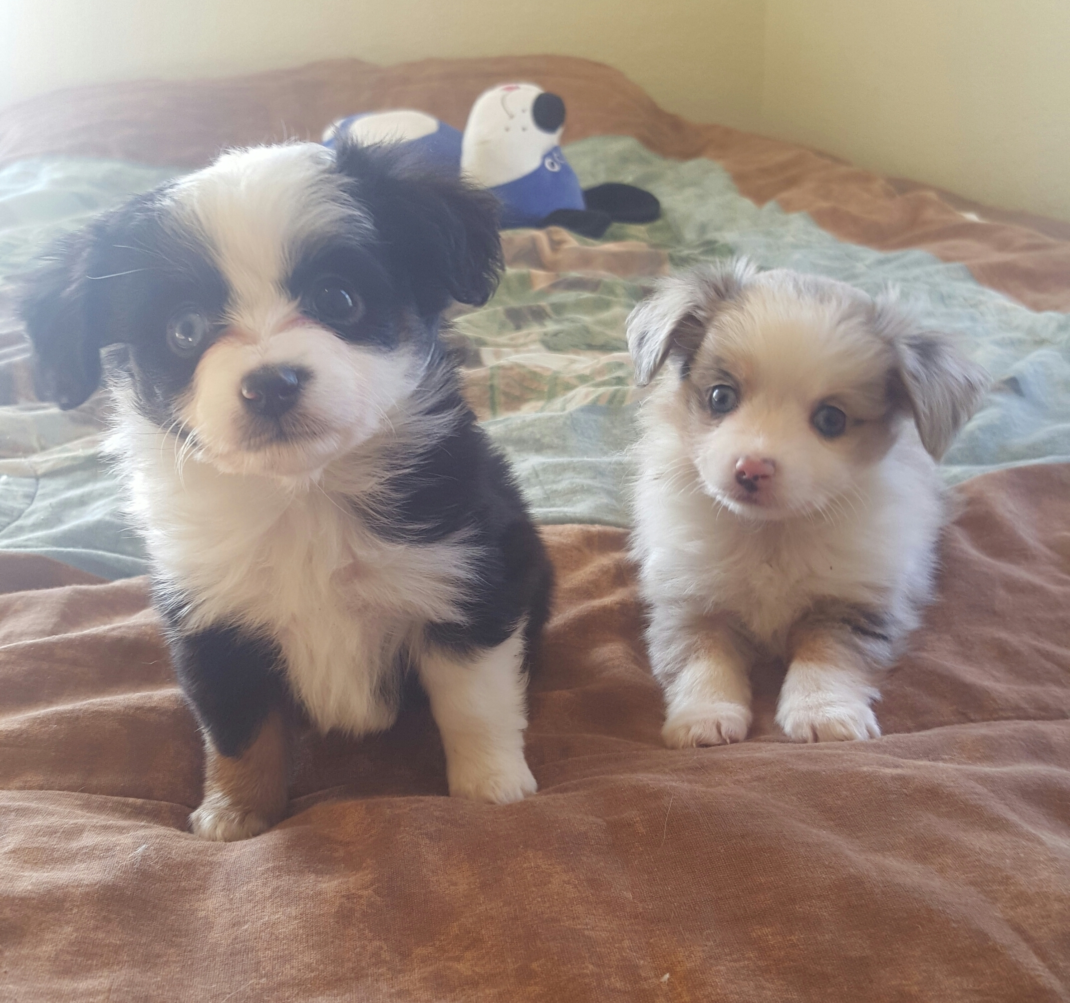 toy aussie puppies for sale $500 two y ranch teacup australian shepherd near me breeders chihuahua columbia sc blue aussiedoodle south carolina merle south north dakota chi kansas ks new york ny pennsylvania pa west virginia wv texas city tx