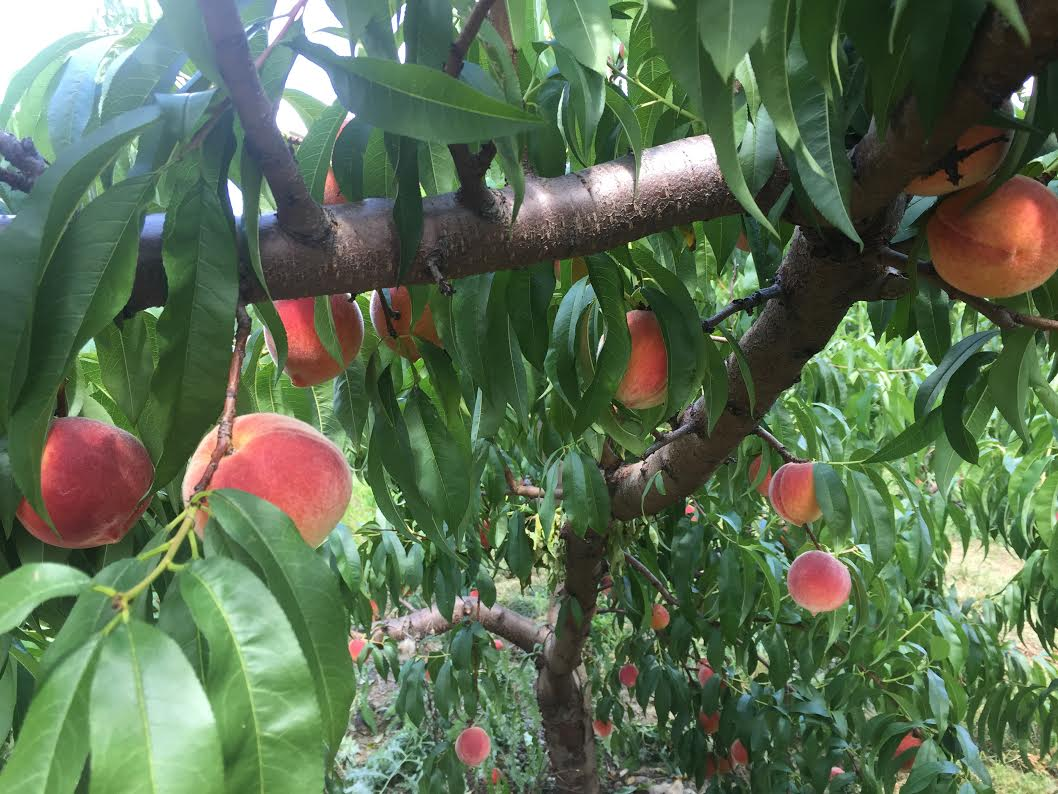 Peach tree _credit Cosima Amelang.jpg