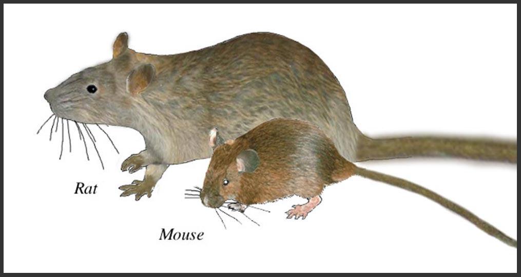 rat-mouse-1.jpg