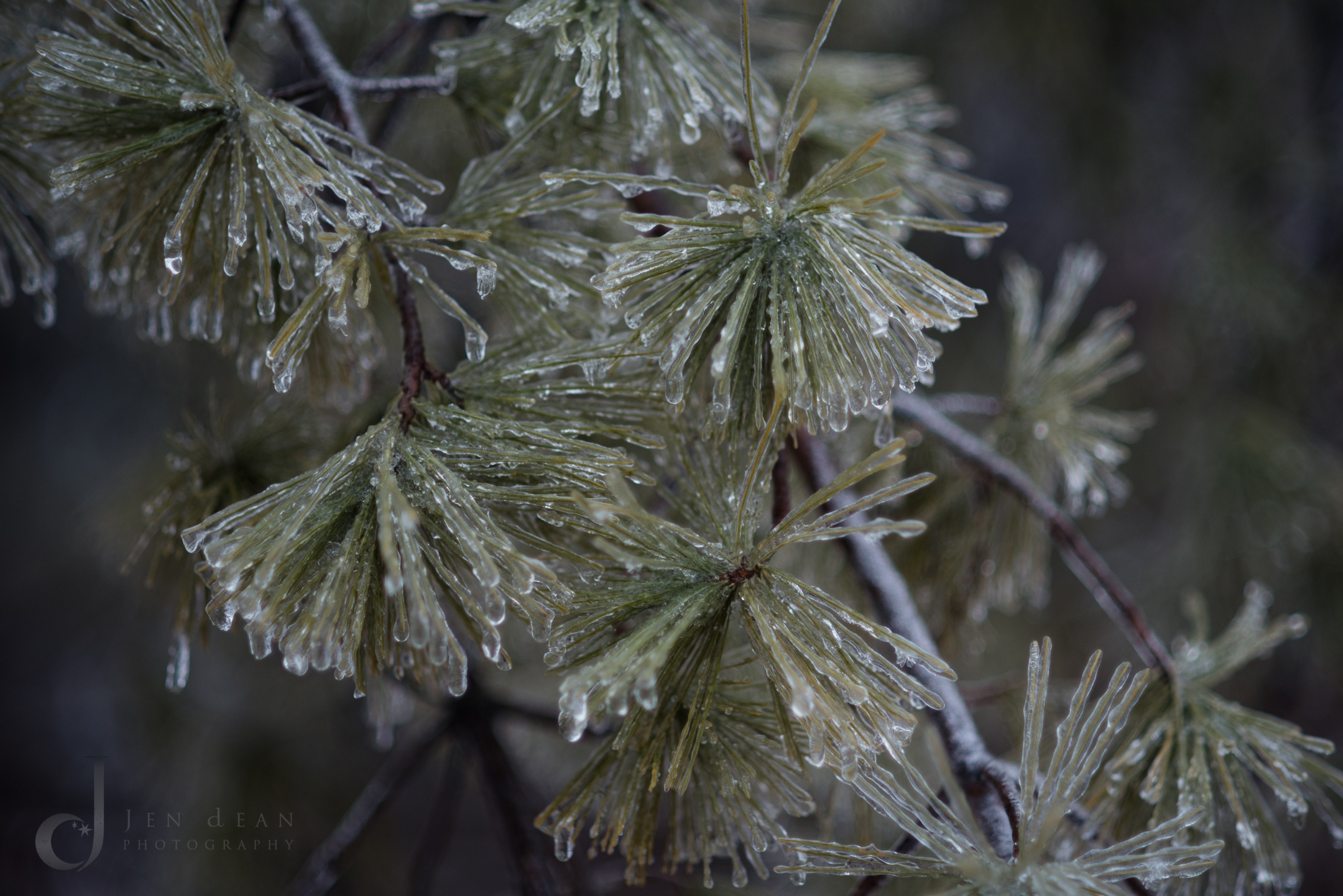 Ice covered conifer