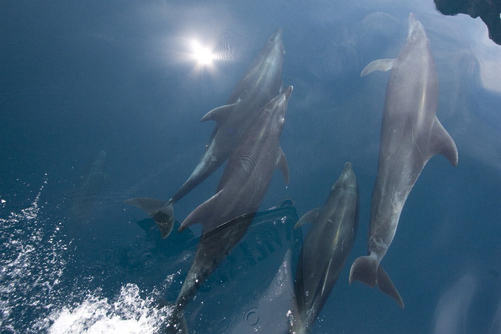 Tursiops truncatus, bottlenose dolphins riding bow wave, Sea of Cortez-4460.jpg