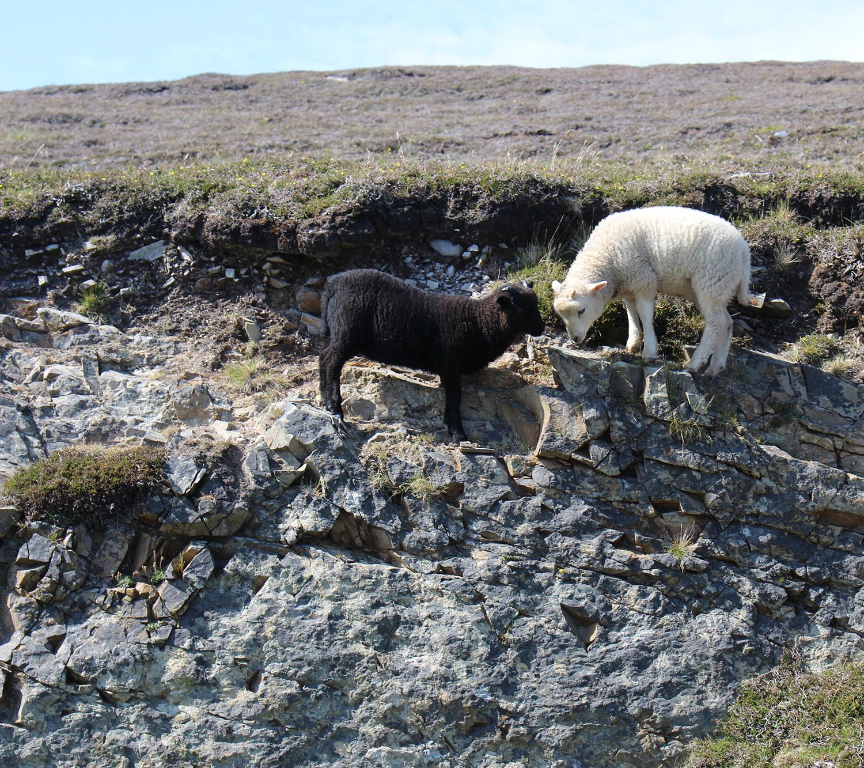 Shetland hill lambs