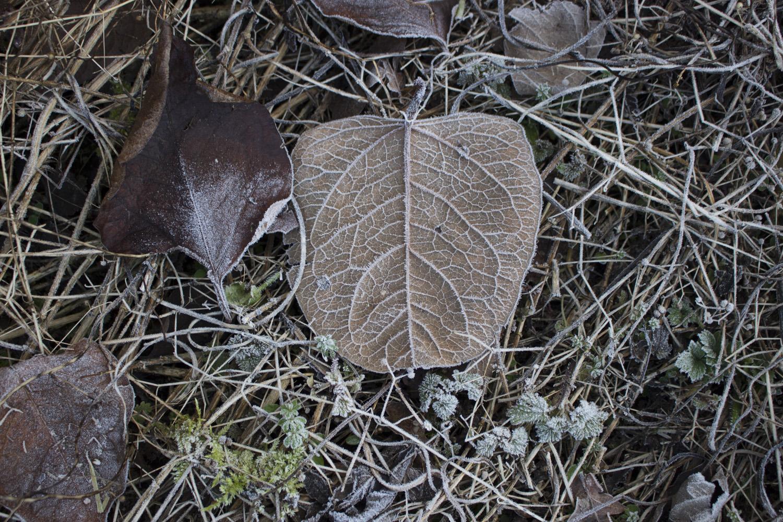 leaves frost2.jpg