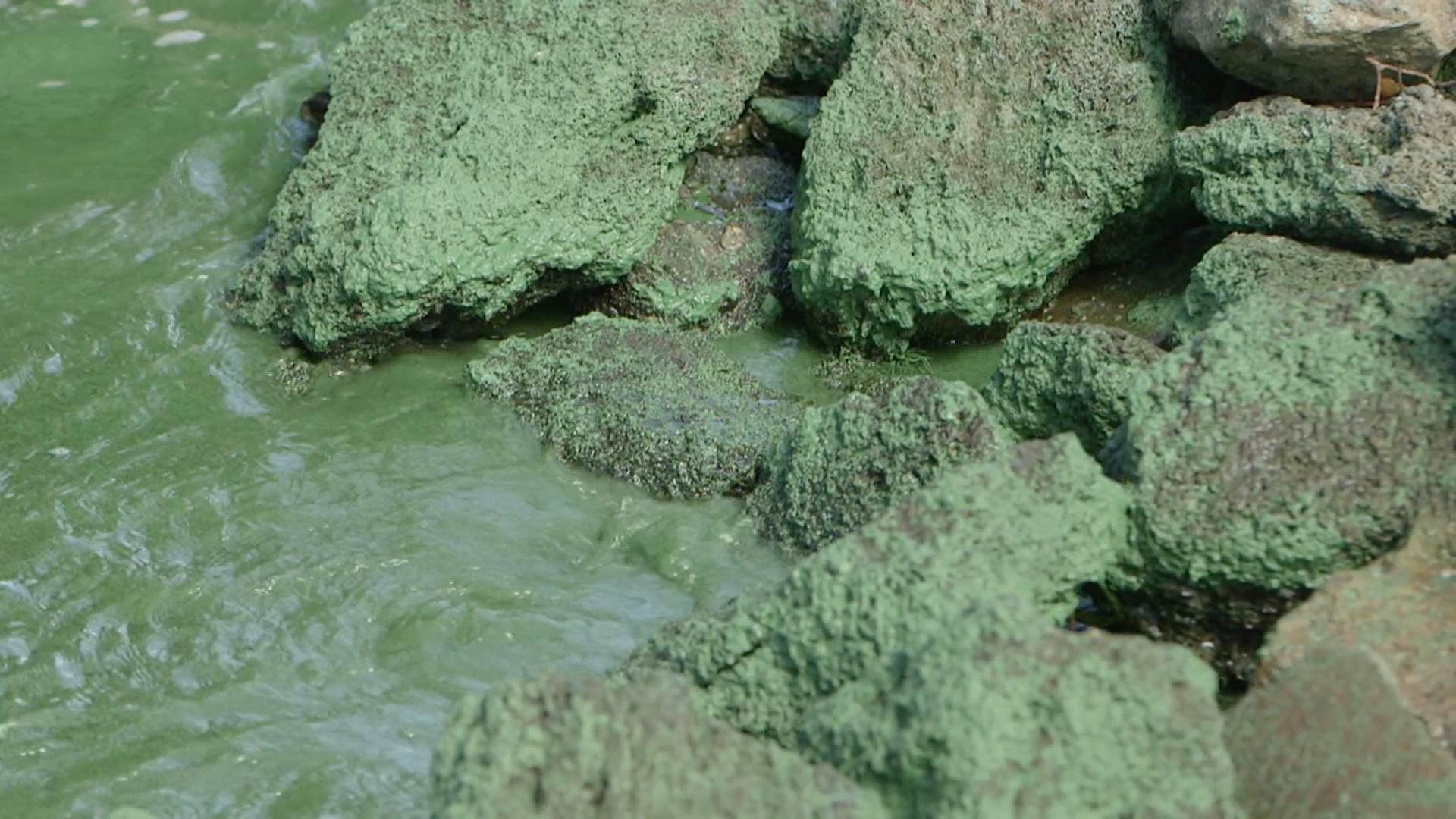 Algae on the surface of the water in the Indian River Lagoon. (Photo by Daniel Traub.)
