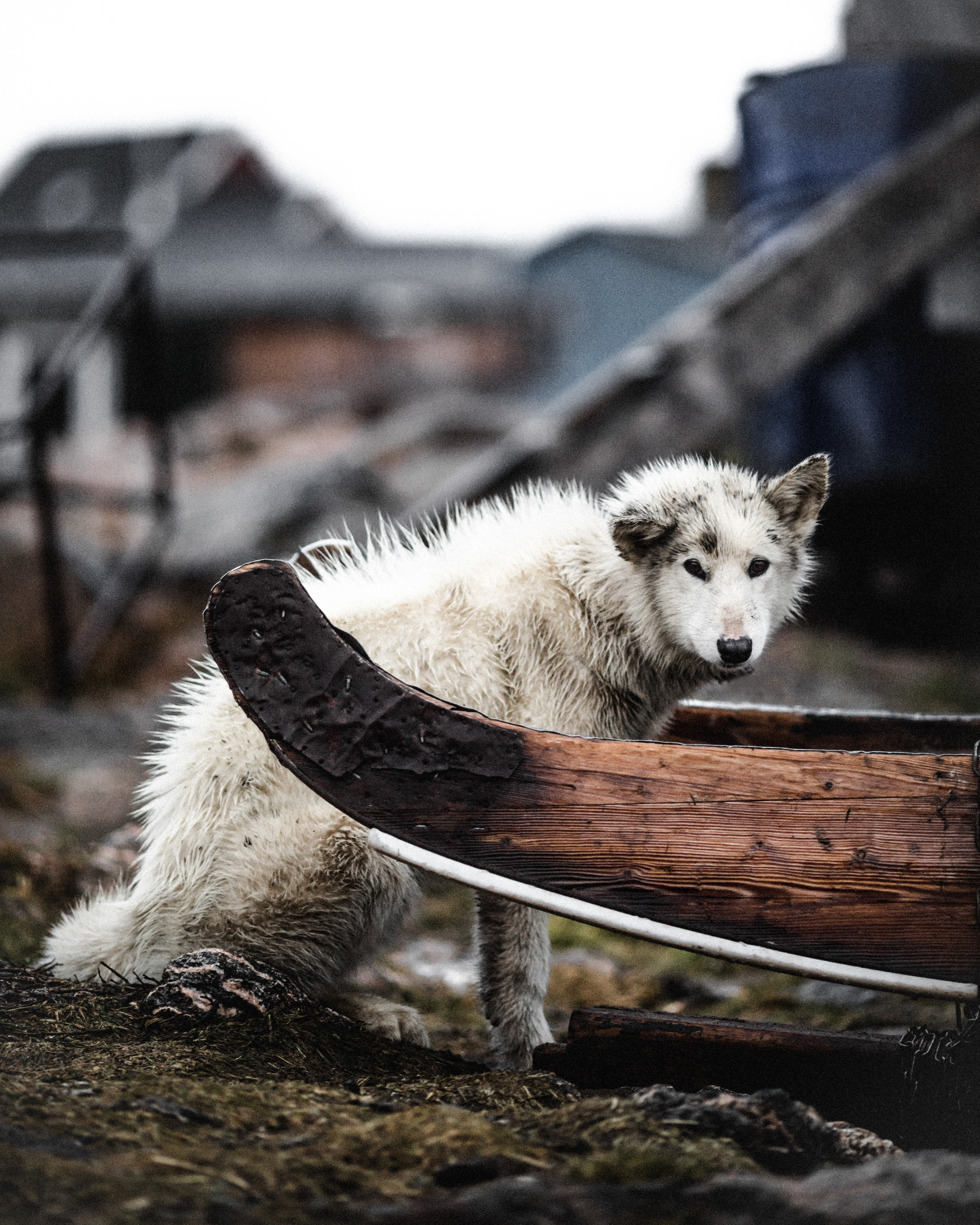 Silent Arctic Greenland Photography Workshop Greenlandic Dog