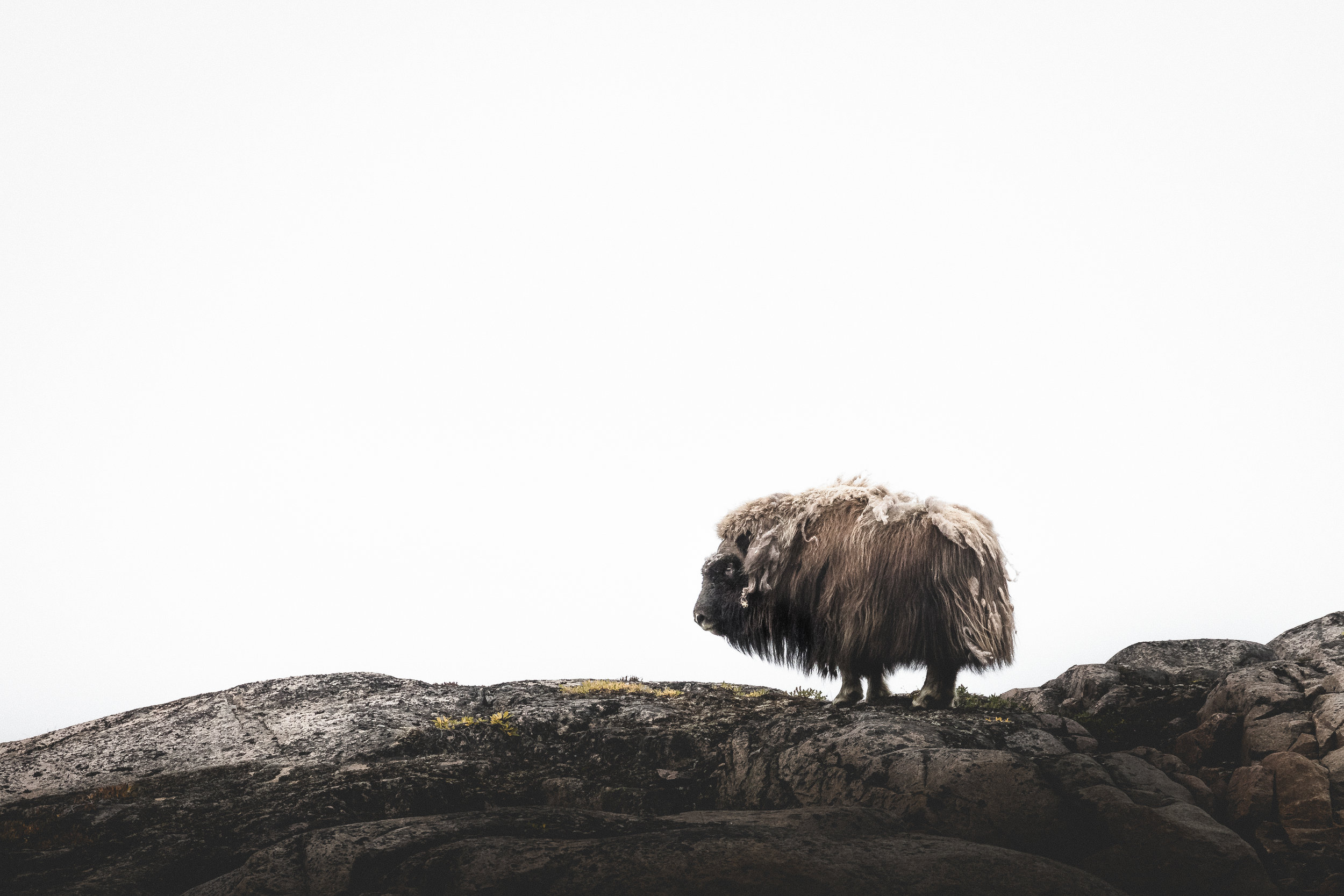 Silent Arctic Greenland Photography Workshop Musk Ox