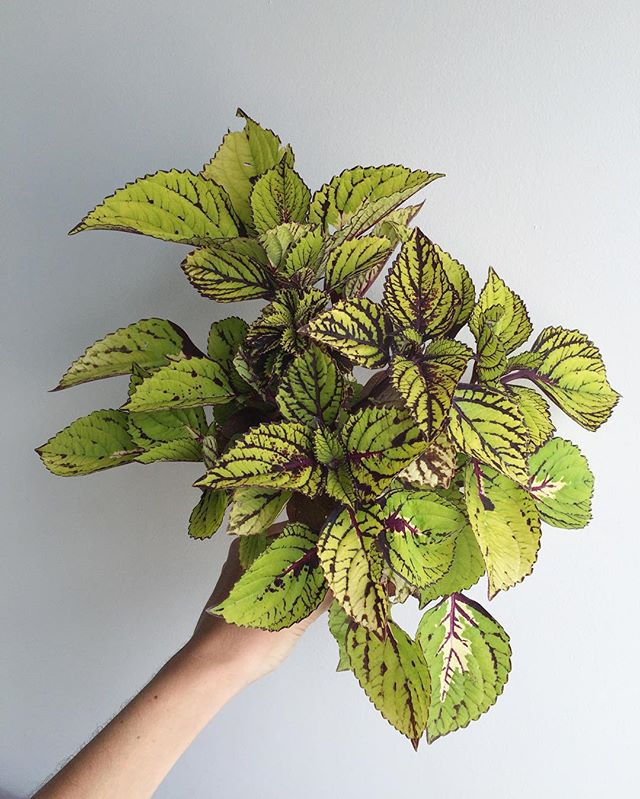 Coleus, you slay me. Obsessed with your variegation.
