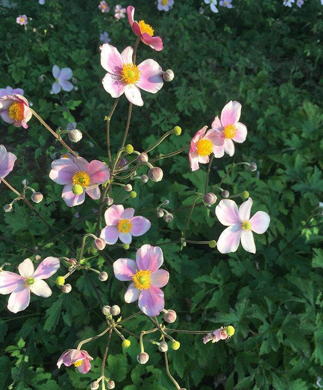 Sunset and the Japanese Anemones