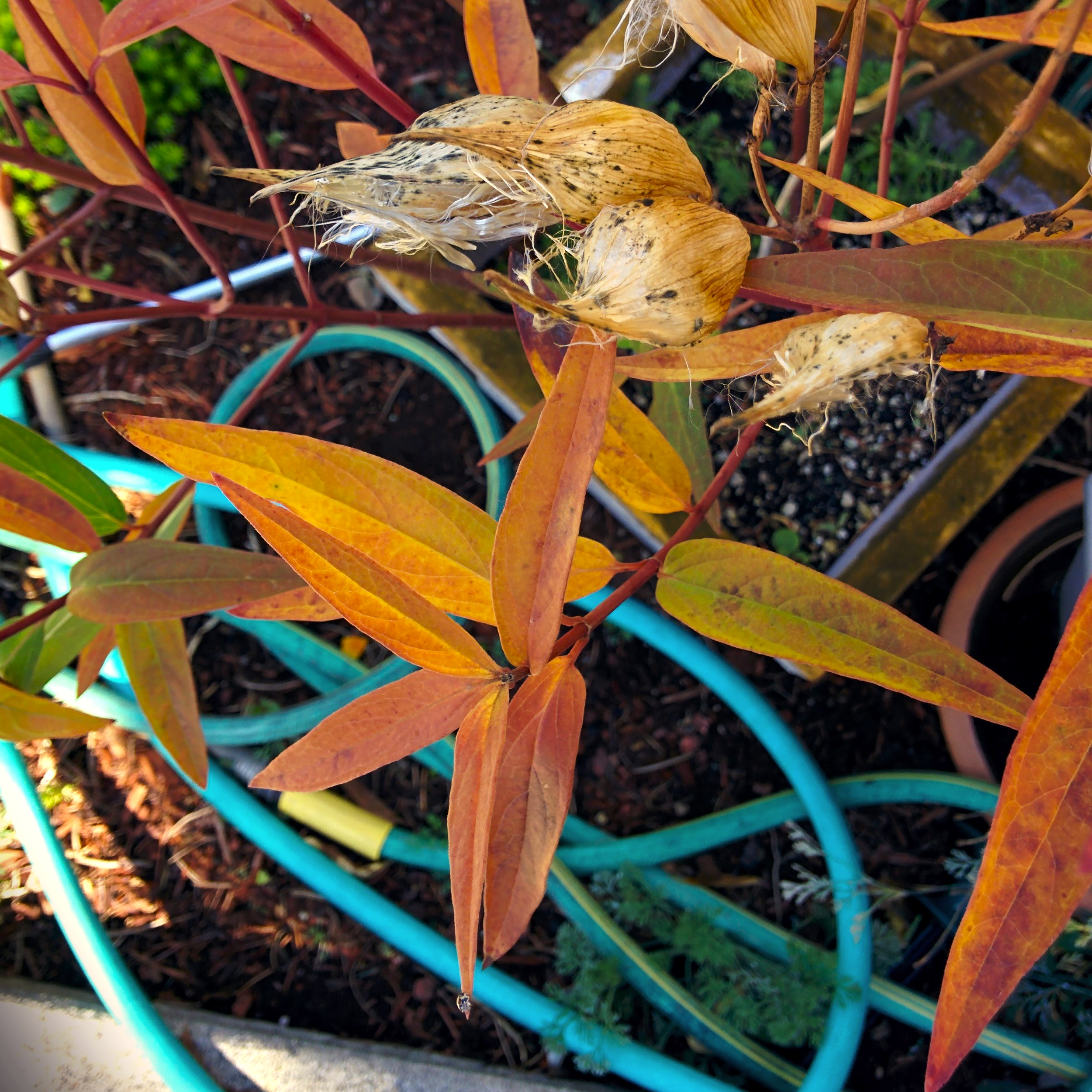 Fall Leaves with Garden Hose