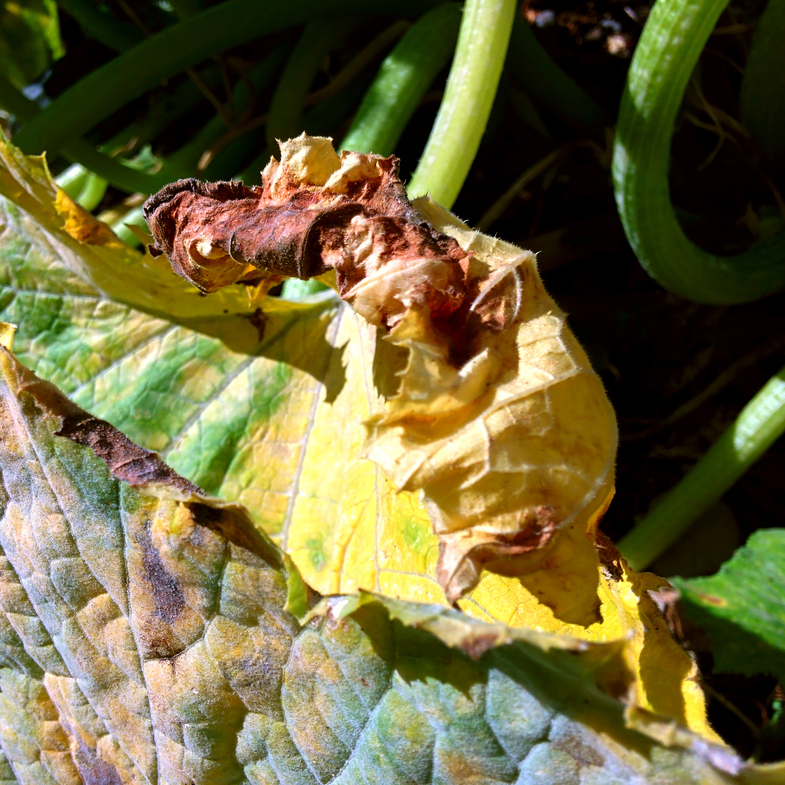 Dying Zuccini Leaves