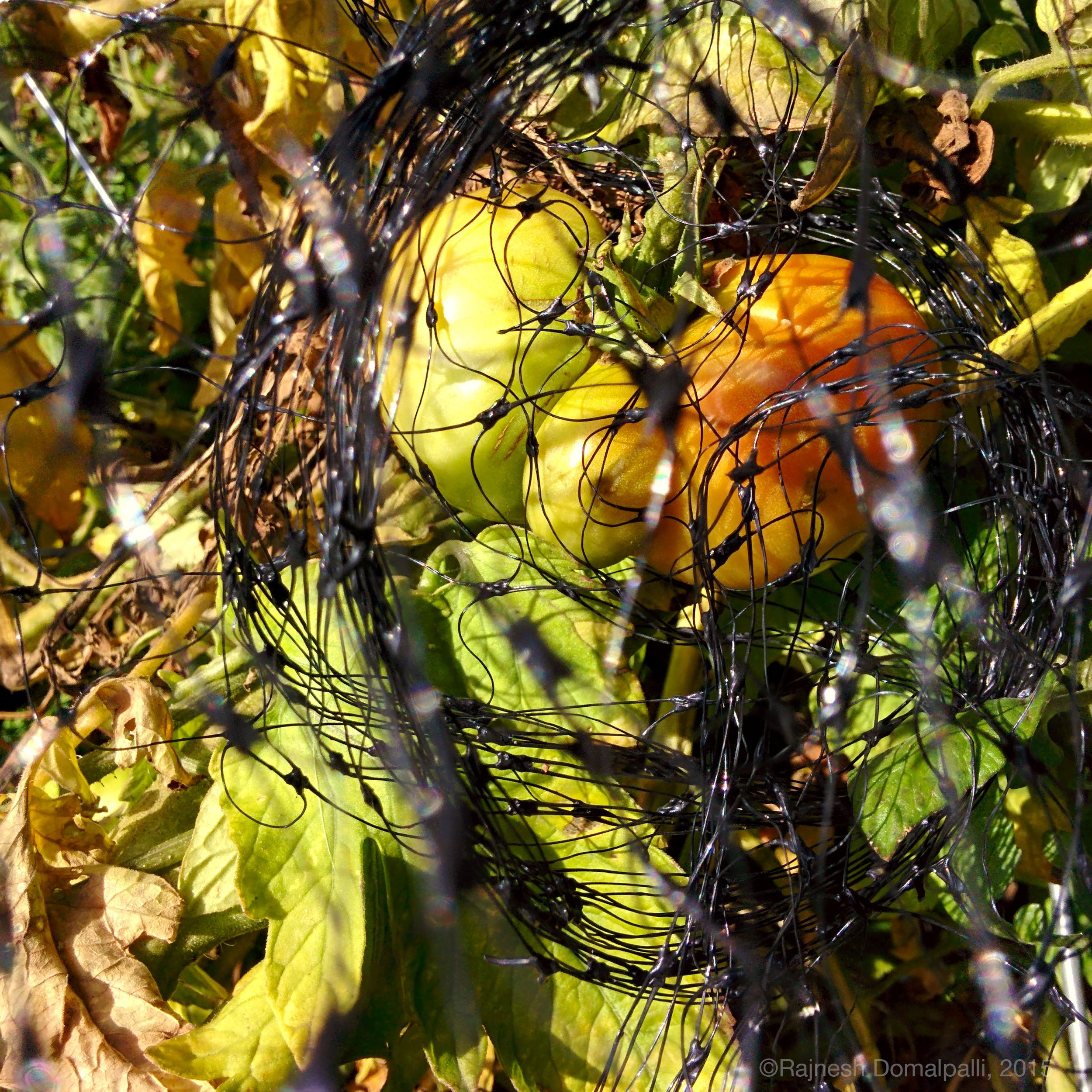 Tomatoes Under Netting