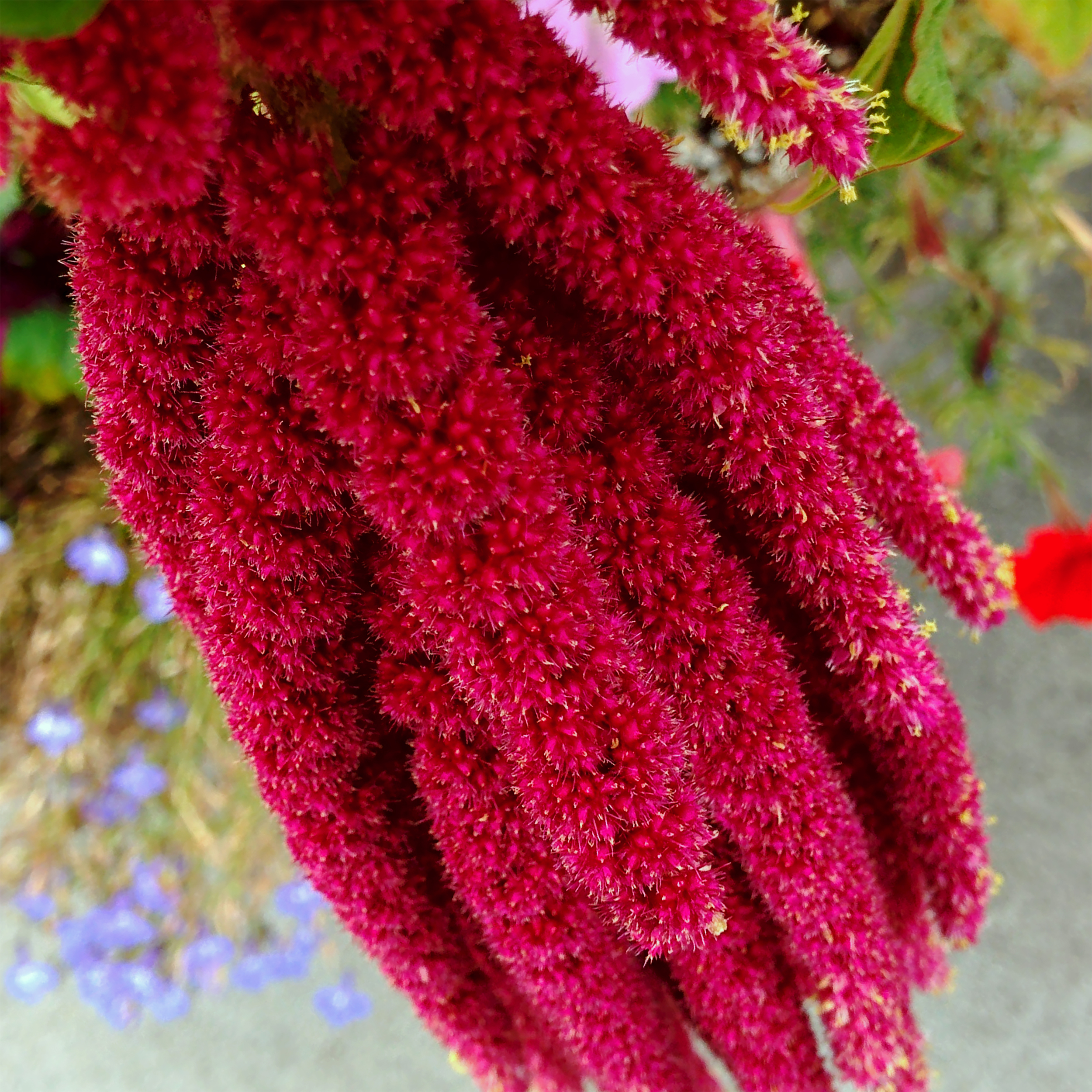 Maroon Dangling Flowers