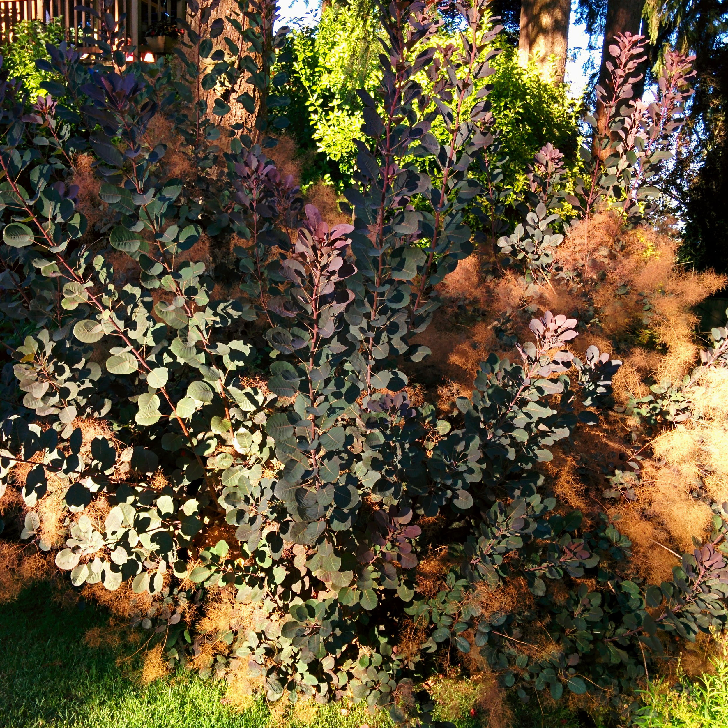 Reddish Gray Shrub