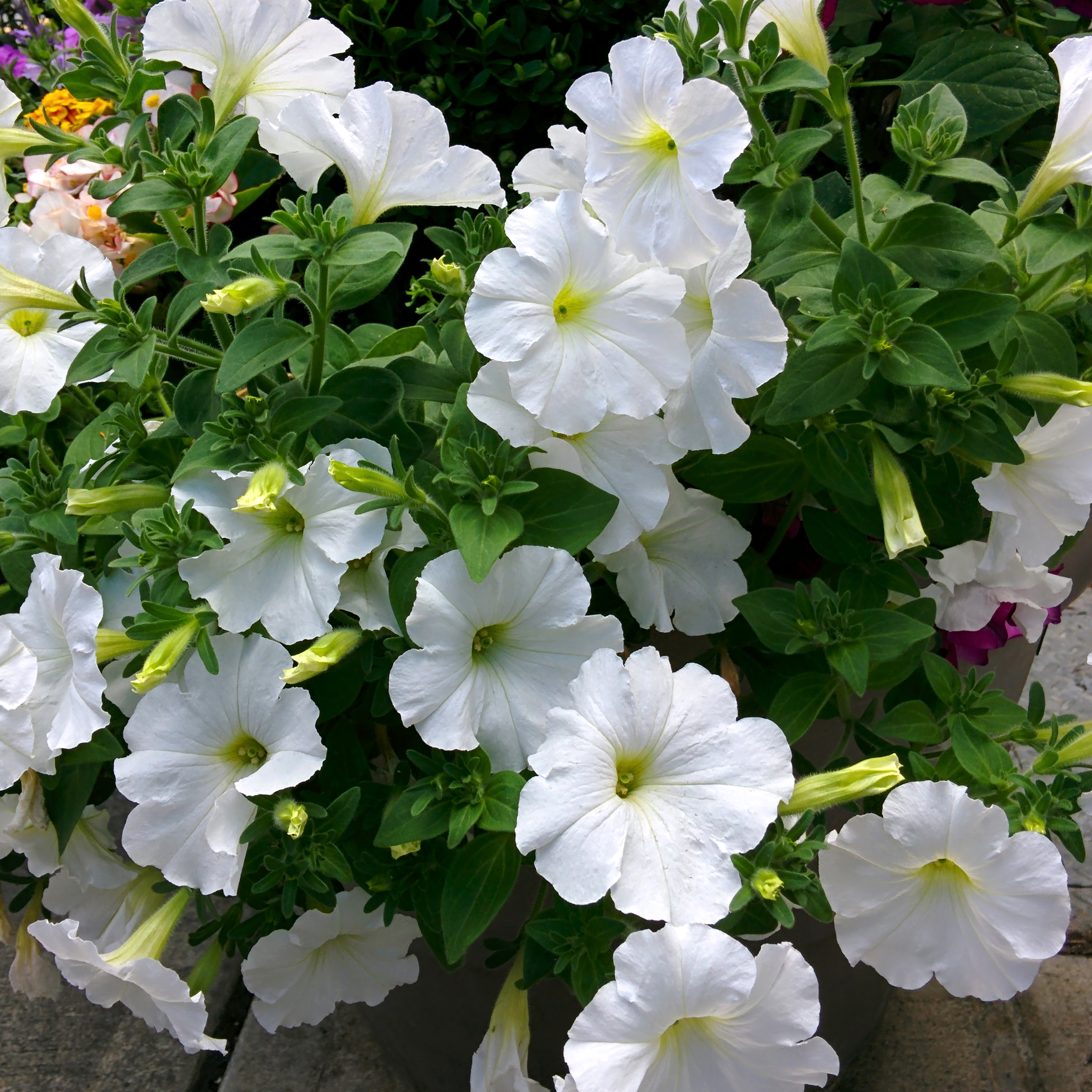 White Petunias